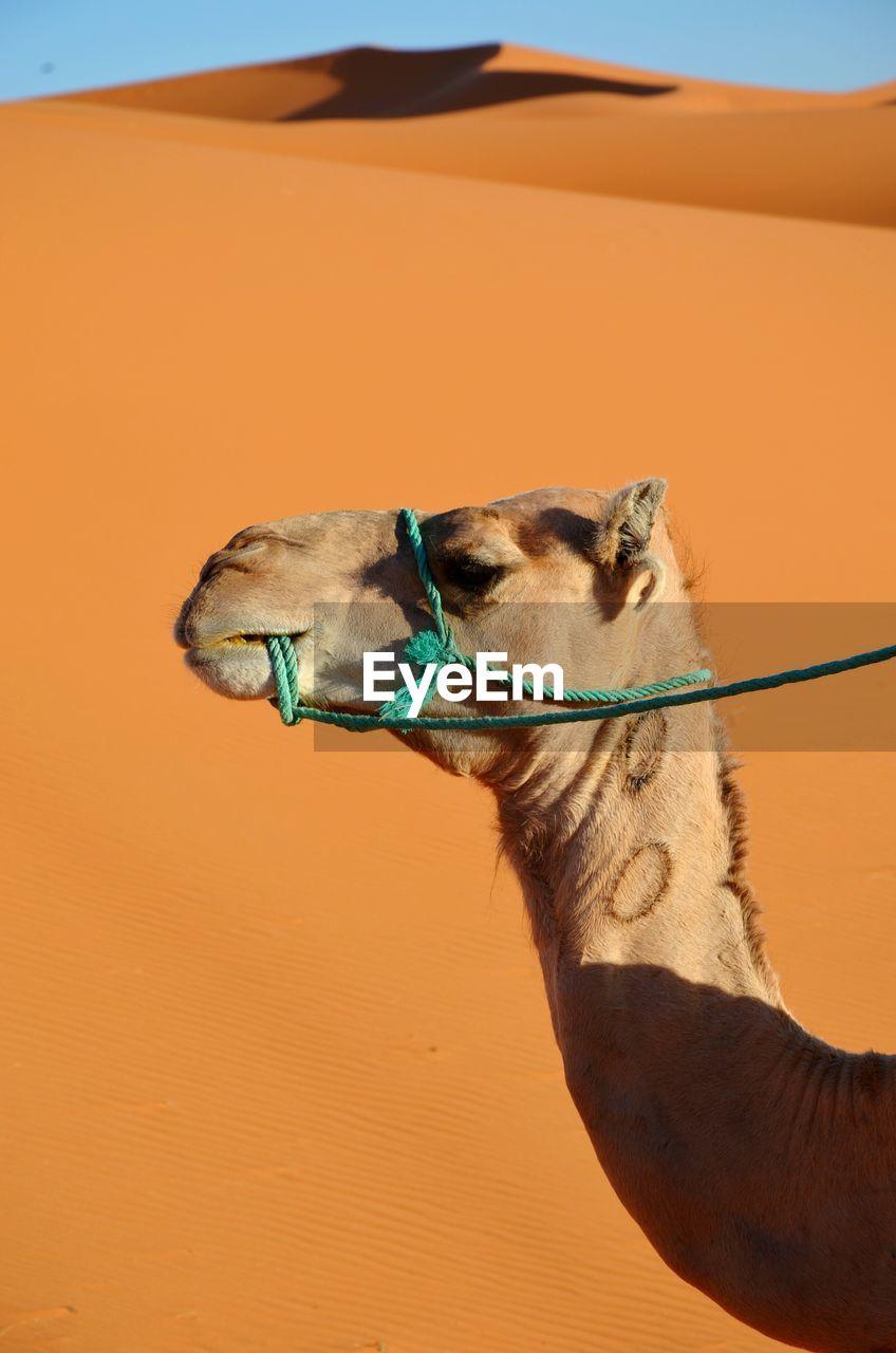 Camel In Desert Against Clear Sky