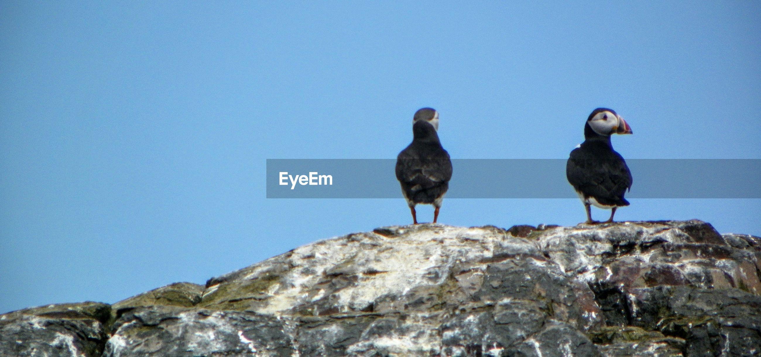 Atlantic puffins perching on rock