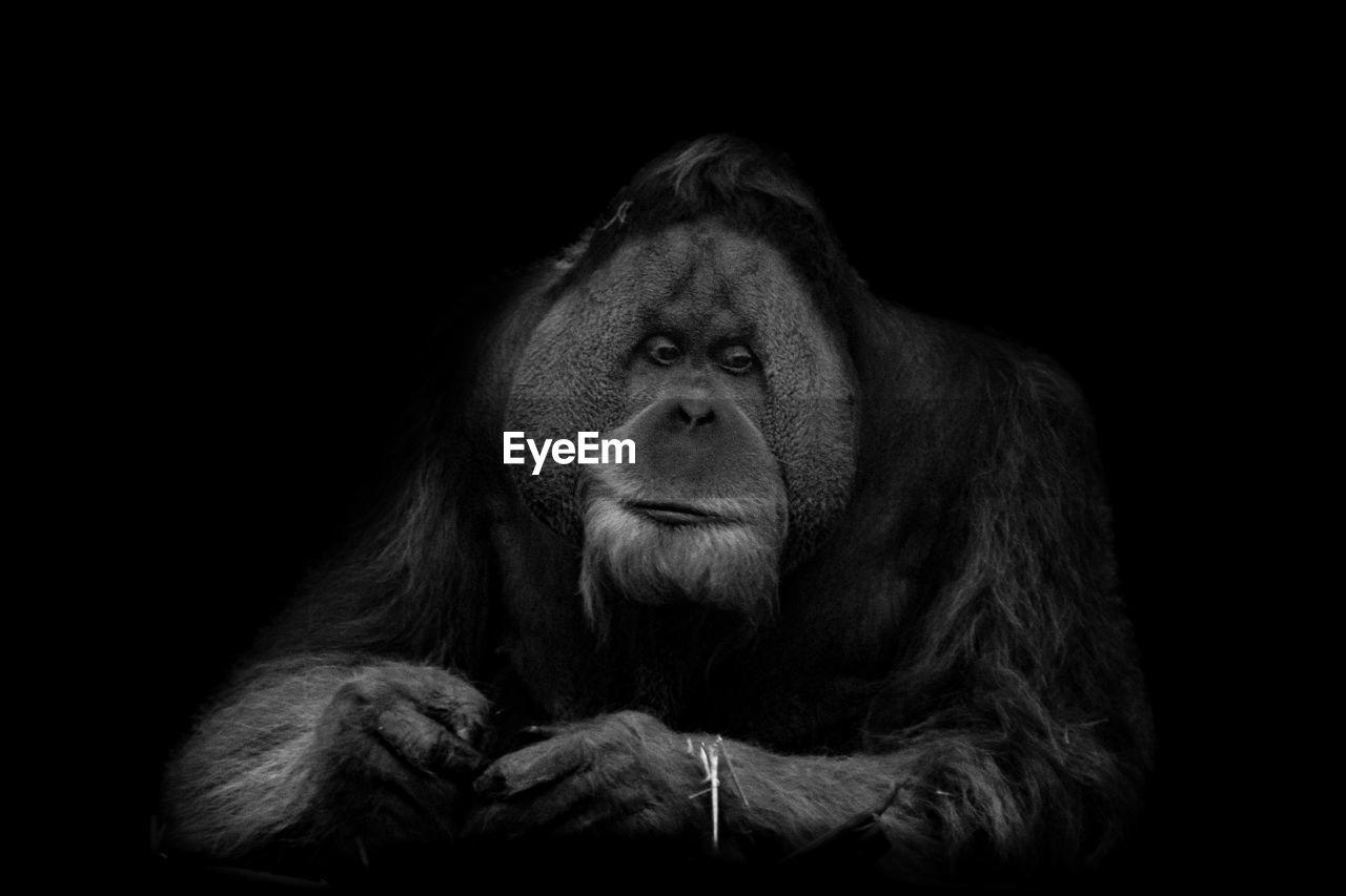 Close-up of gorilla against black background