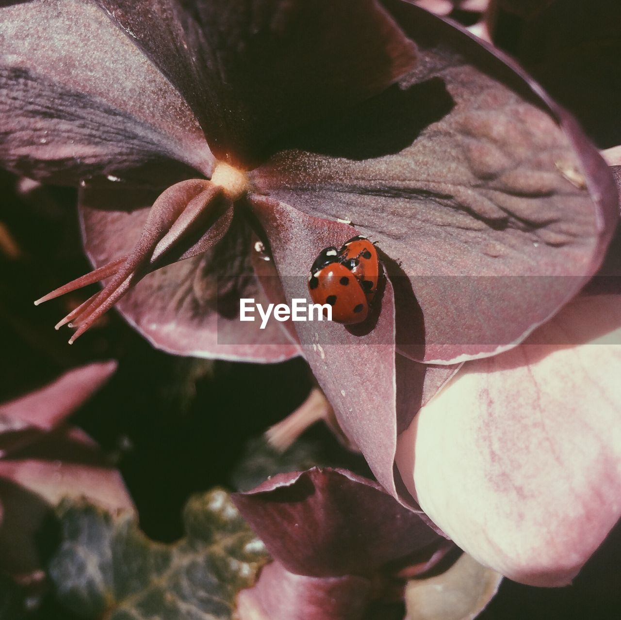 insect, invertebrate, animal wildlife, animals in the wild, animal themes, animal, one animal, ladybug, flower, close-up, beetle, flowering plant, beauty in nature, plant, no people, spotted, petal, nature, fragility, vulnerability, flower head, outdoors