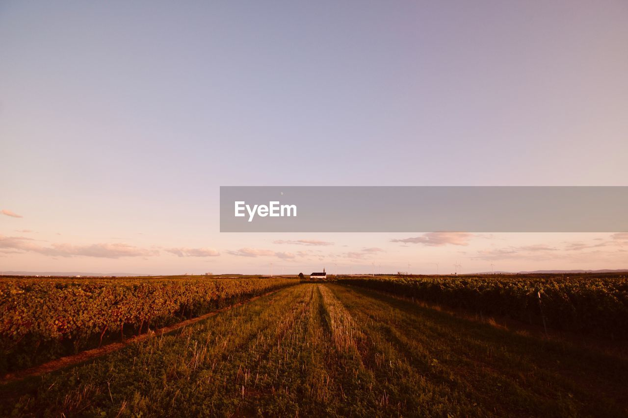 sky, field, landscape, environment, land, agriculture, scenics - nature, rural scene, tranquil scene, tranquility, beauty in nature, sunset, nature, copy space, growth, no people, plant, farm, horizon over land, horizon, outdoors