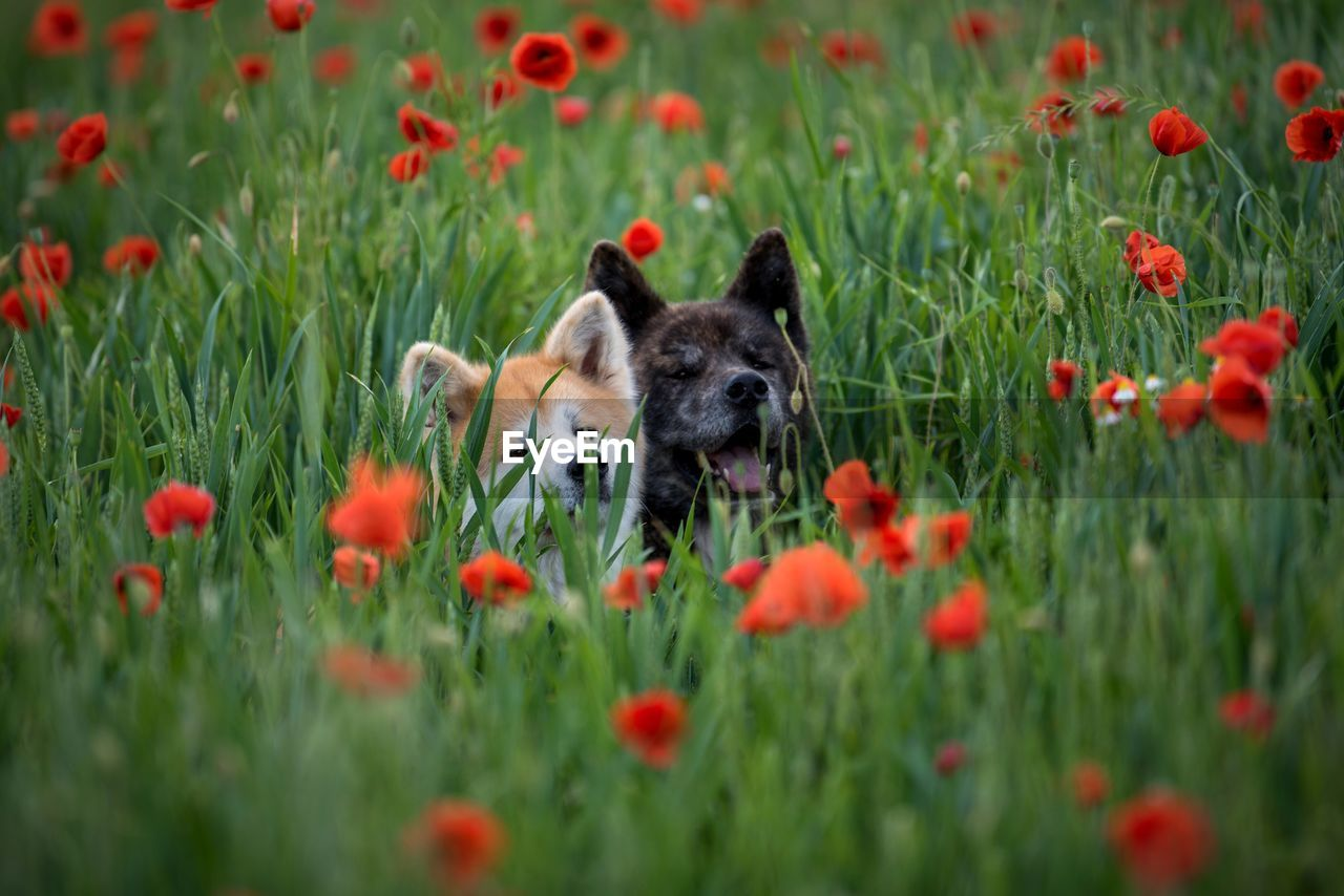 Dogs Amidst Red Poppies Blooming On Field