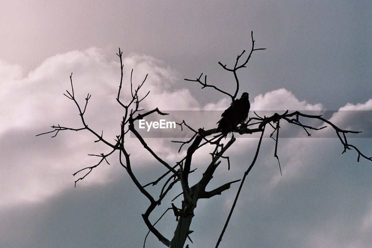 animals in the wild, animal wildlife, animal, animal themes, tree, bird, vertebrate, silhouette, bare tree, sky, perching, cloud - sky, branch, nature, low angle view, no people, one animal, plant, outdoors, day