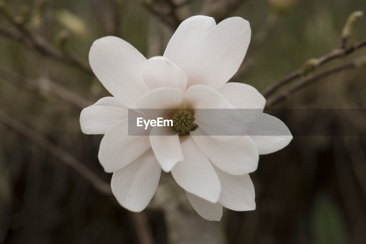 flower, petal, white color, focus on foreground, nature, beauty in nature, flower head, growth, blooming, fragility, no people, plant, outdoors, day, close-up, freshness