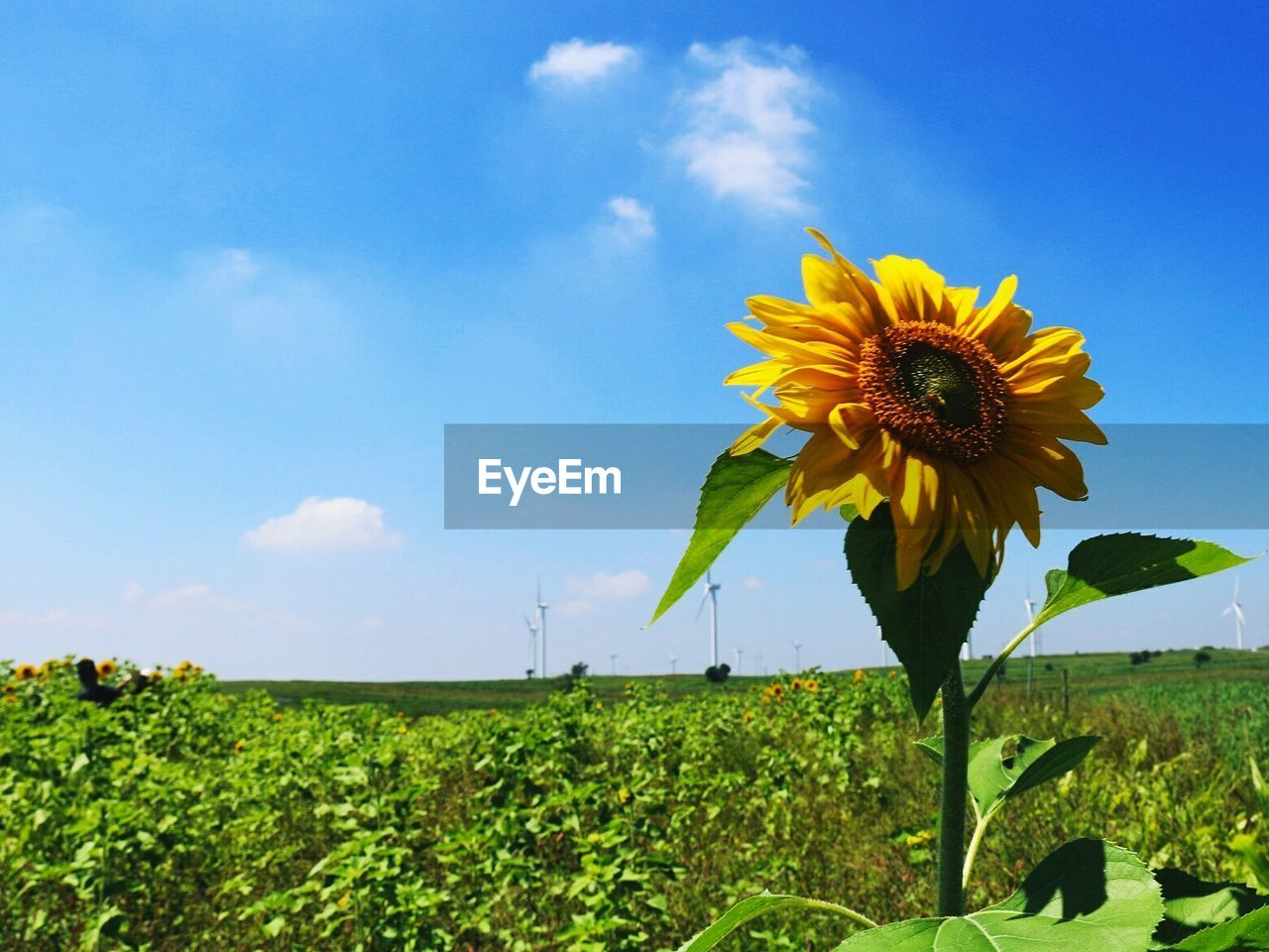 flower, field, growth, nature, beauty in nature, plant, freshness, yellow, sky, sunflower, fragility, day, no people, outdoors, landscape, petal, flower head, rural scene, green color, tranquility, leaf, blooming, close-up, grass, scenics