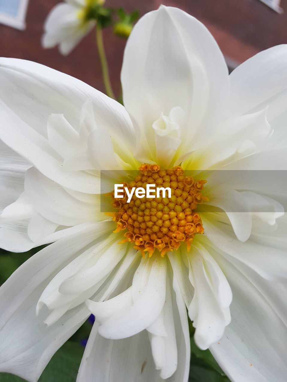 flower, petal, white color, fragility, flower head, beauty in nature, freshness, nature, growth, close-up, day, pollen, no people, outdoors, blooming