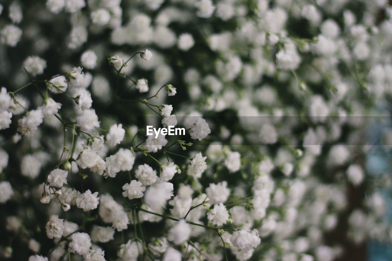flower, flowering plant, plant, freshness, fragility, beauty in nature, vulnerability, growth, day, close-up, nature, no people, white color, selective focus, tree, springtime, blossom, petal, branch, outdoors, flower head, cherry tree, bunch of flowers, cherry blossom, spring