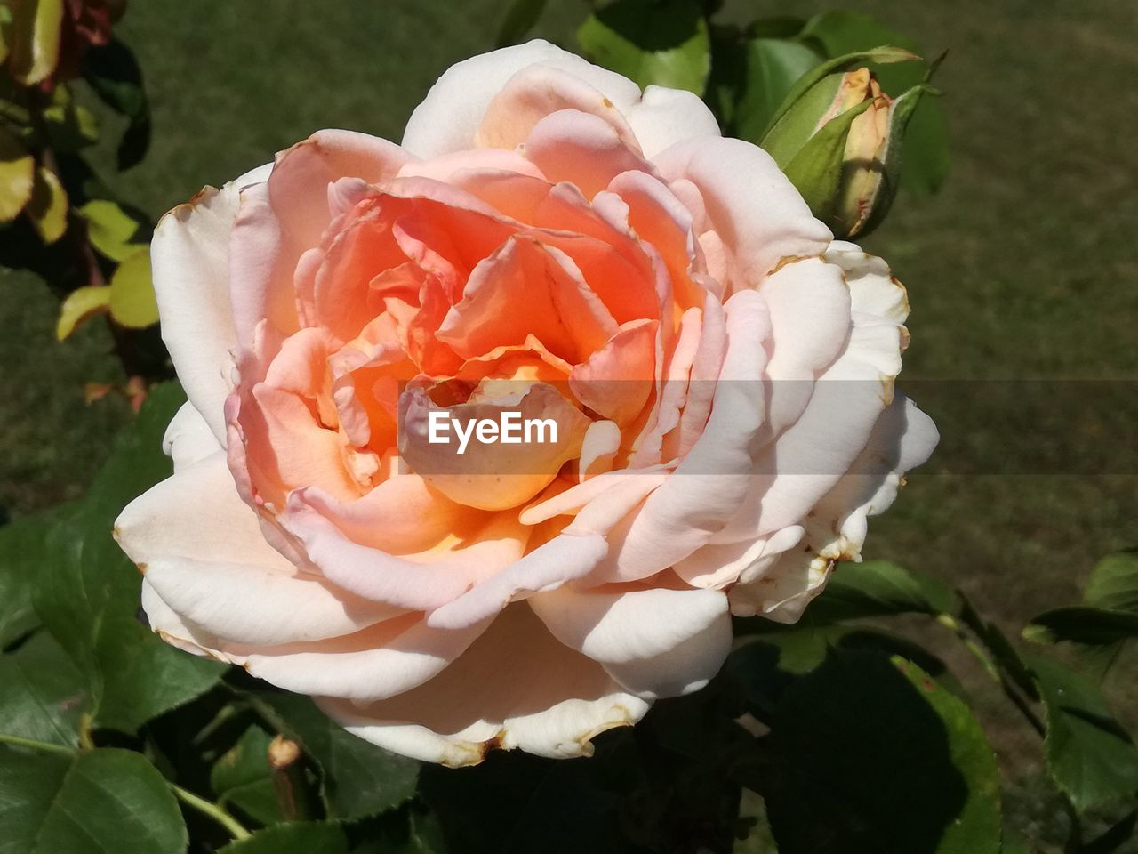 petal, flower, flower head, rose - flower, nature, fragility, beauty in nature, growth, white color, close-up, plant, freshness, outdoors, no people, day, blooming