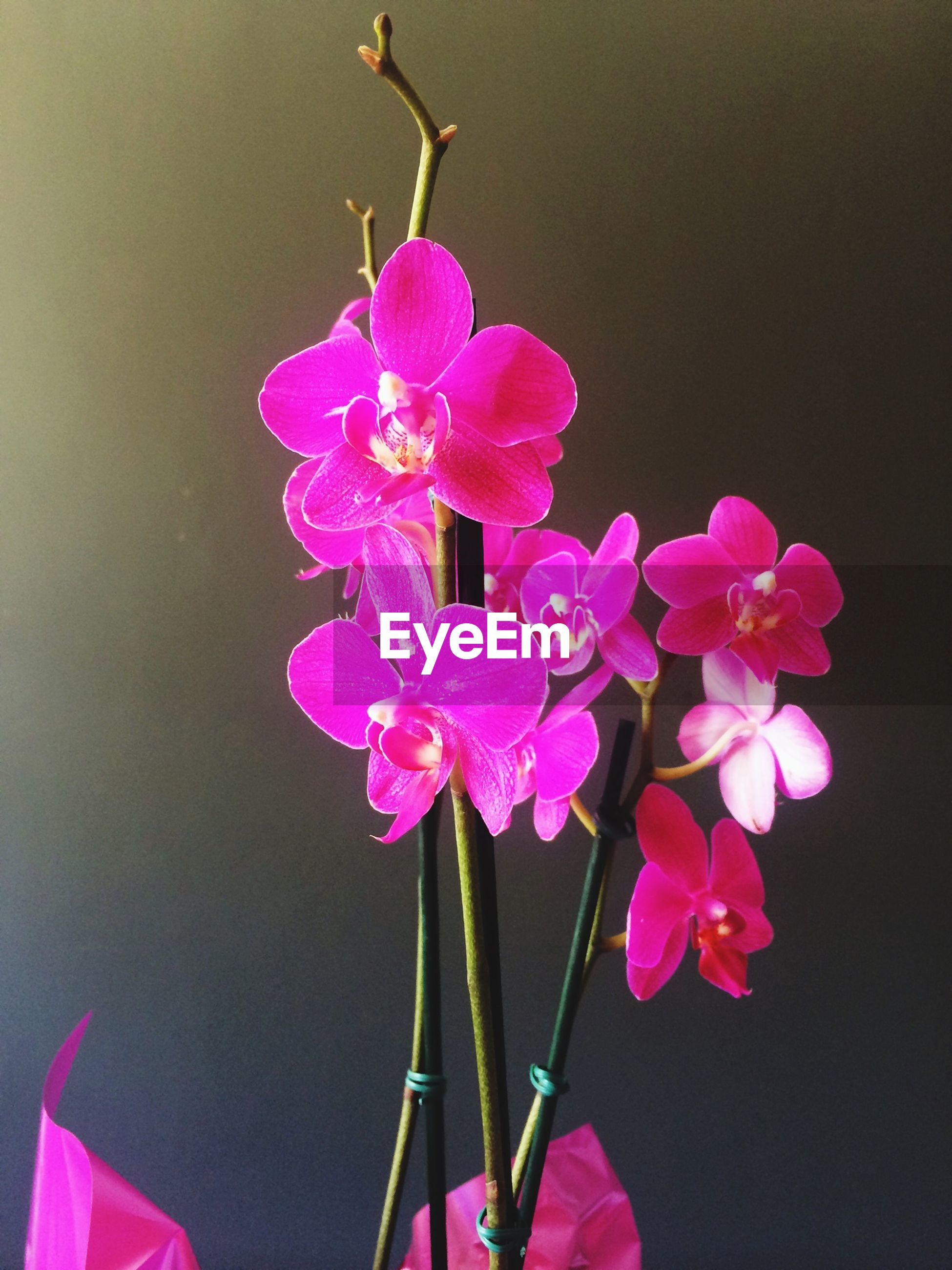 flower, freshness, fragility, petal, pink color, beauty in nature, close-up, growth, flower head, nature, purple, stem, focus on foreground, blooming, bud, plant, in bloom, pink, no people, copy space
