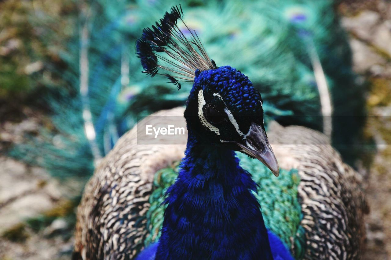 one animal, animal themes, animals in the wild, bird, peacock, animal wildlife, focus on foreground, animal crest, feather, close-up, day, beauty in nature, nature, blue, no people, outdoors, peacock feather, fanned out