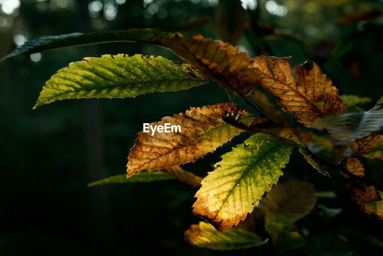 leaf, autumn, green color, nature, focus on foreground, day, change, no people, close-up, outdoors, growth, beauty in nature, maple, freshness