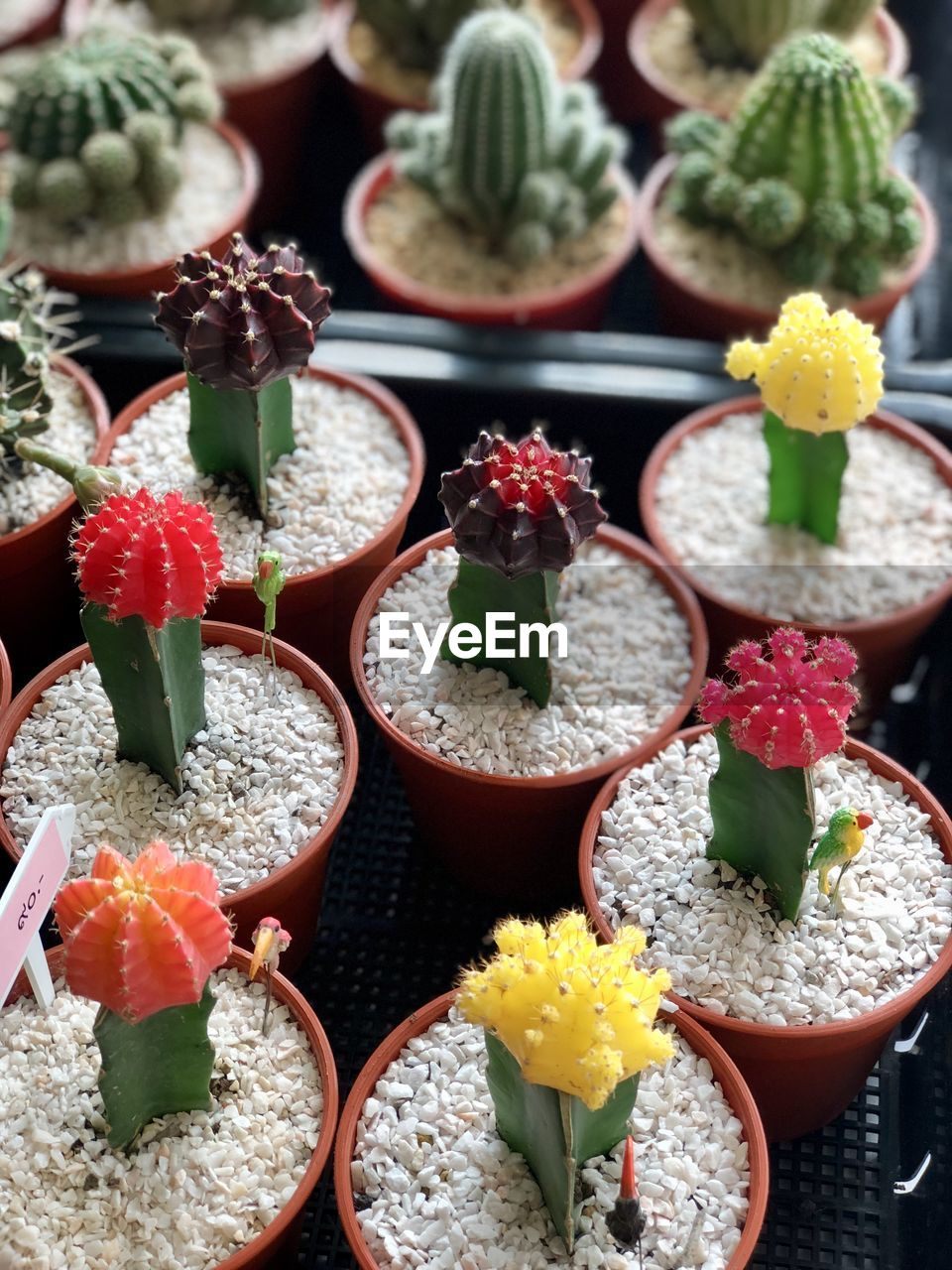 succulent plant, freshness, no people, cactus, close-up, choice, plant, potted plant, still life, variation, flower, indoors, day, high angle view, nature, beauty in nature, growth, flowering plant, green color, food and drink