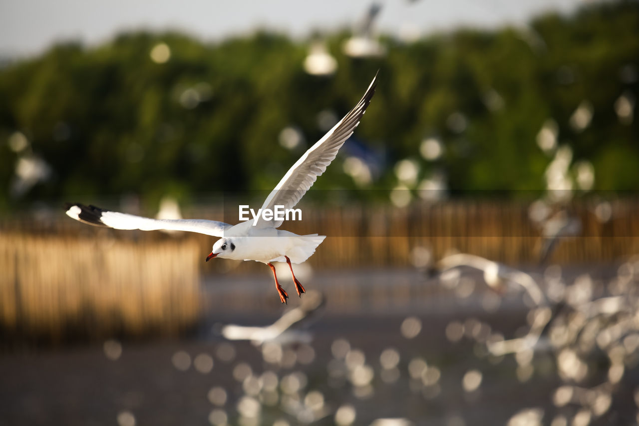 flying, spread wings, mid-air, animal, animal themes, bird, vertebrate, one animal, animals in the wild, animal wildlife, focus on foreground, no people, nature, day, seagull, motion, water, outdoors, selective focus, sunlight