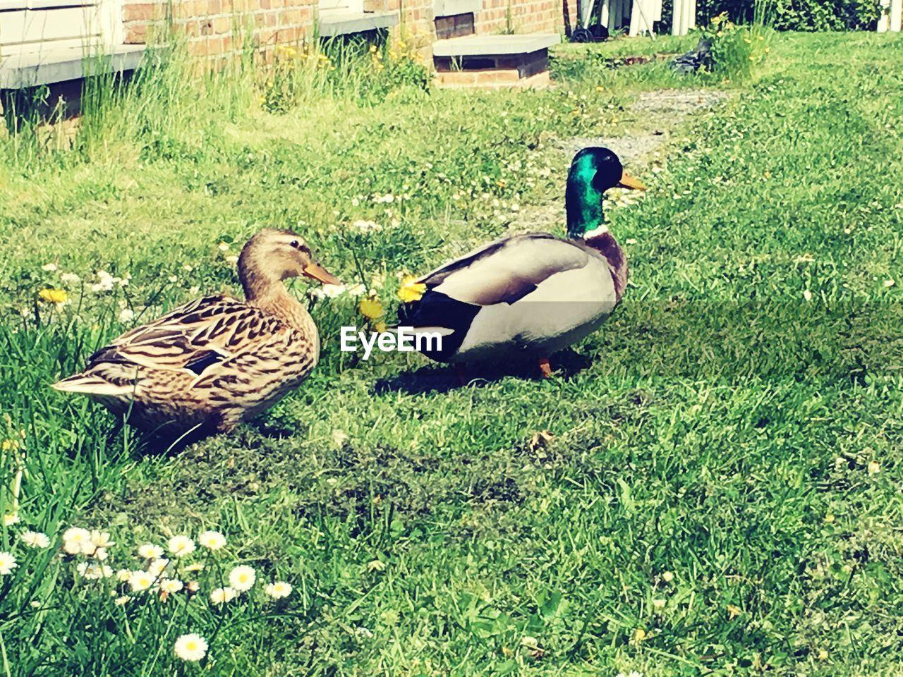 TWO BIRDS ON GRASSY FIELD