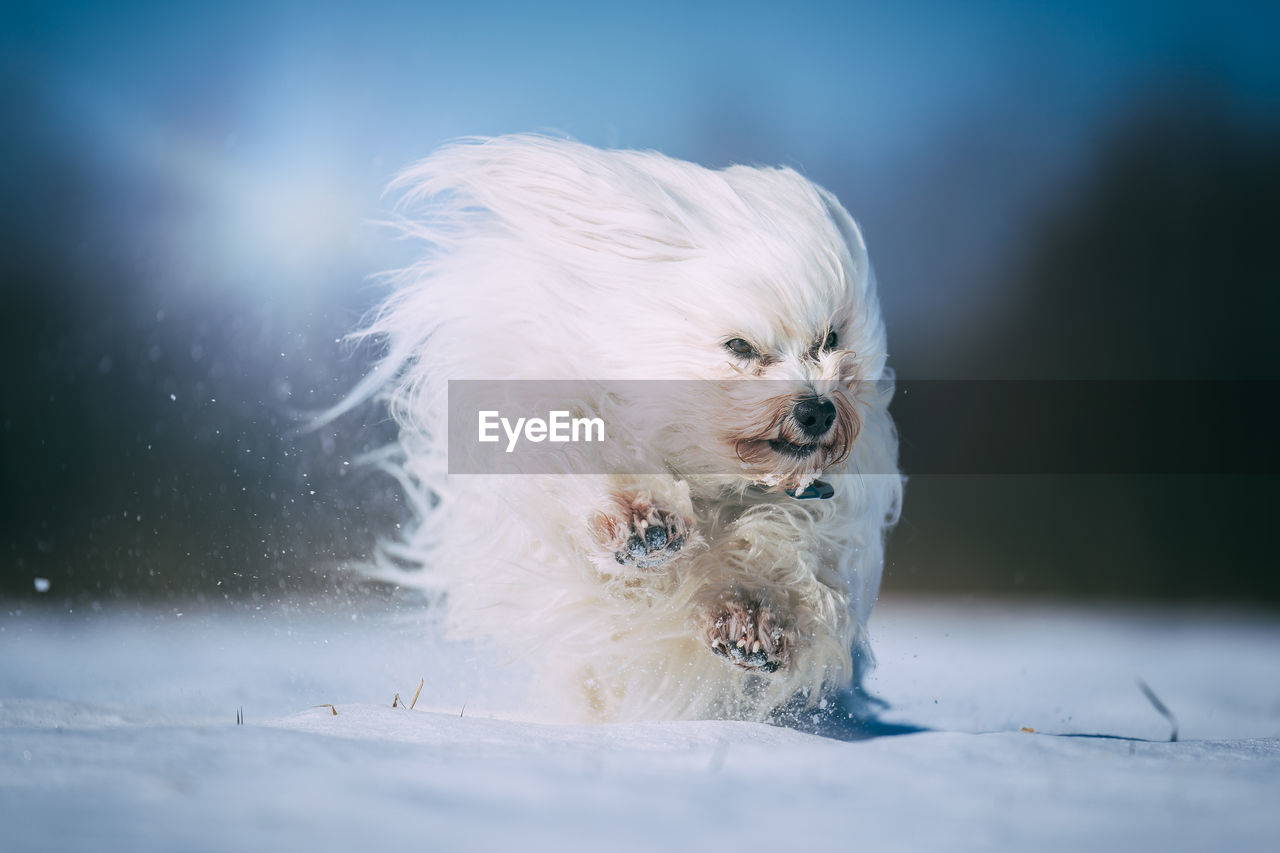 one animal, dog, canine, animal themes, animal, pets, mammal, domestic, domestic animals, white color, vertebrate, snow, no people, cold temperature, day, winter, nature, outdoors, selective focus, small