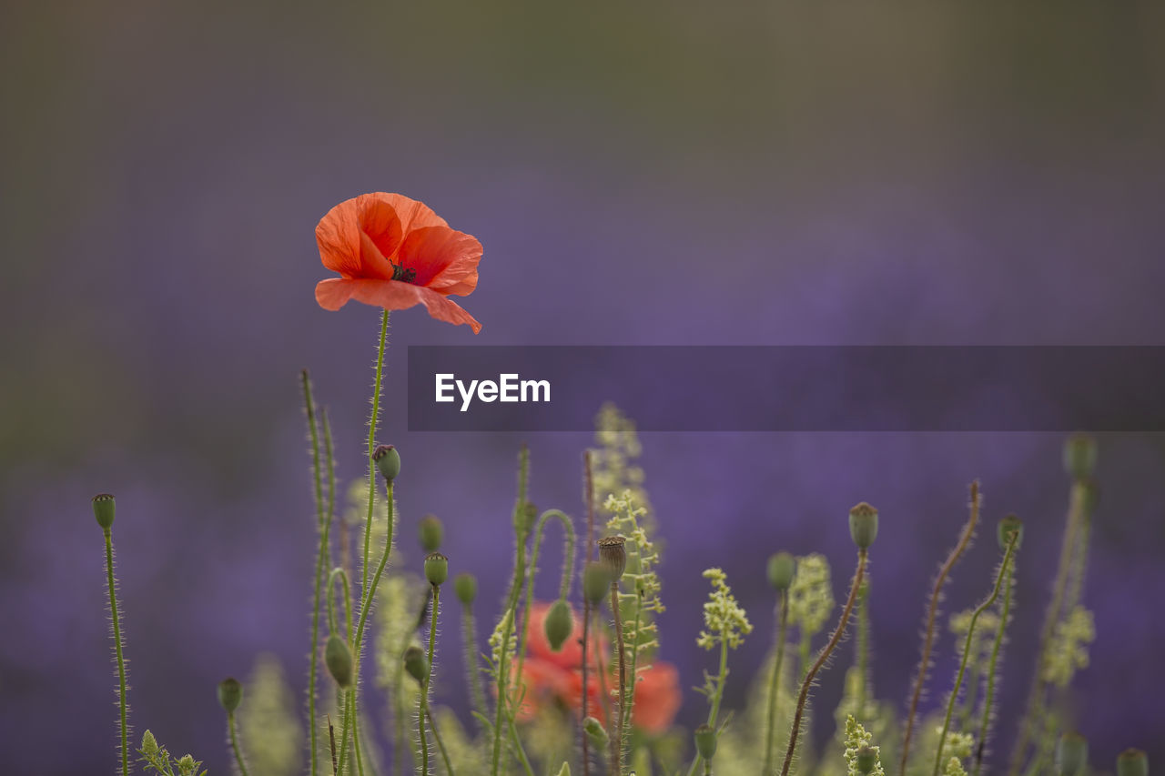 flowering plant, flower, fragility, plant, vulnerability, beauty in nature, growth, freshness, petal, close-up, inflorescence, flower head, focus on foreground, nature, no people, field, plant stem, orange color, botany, selective focus, outdoors, poppy, pollen, purple
