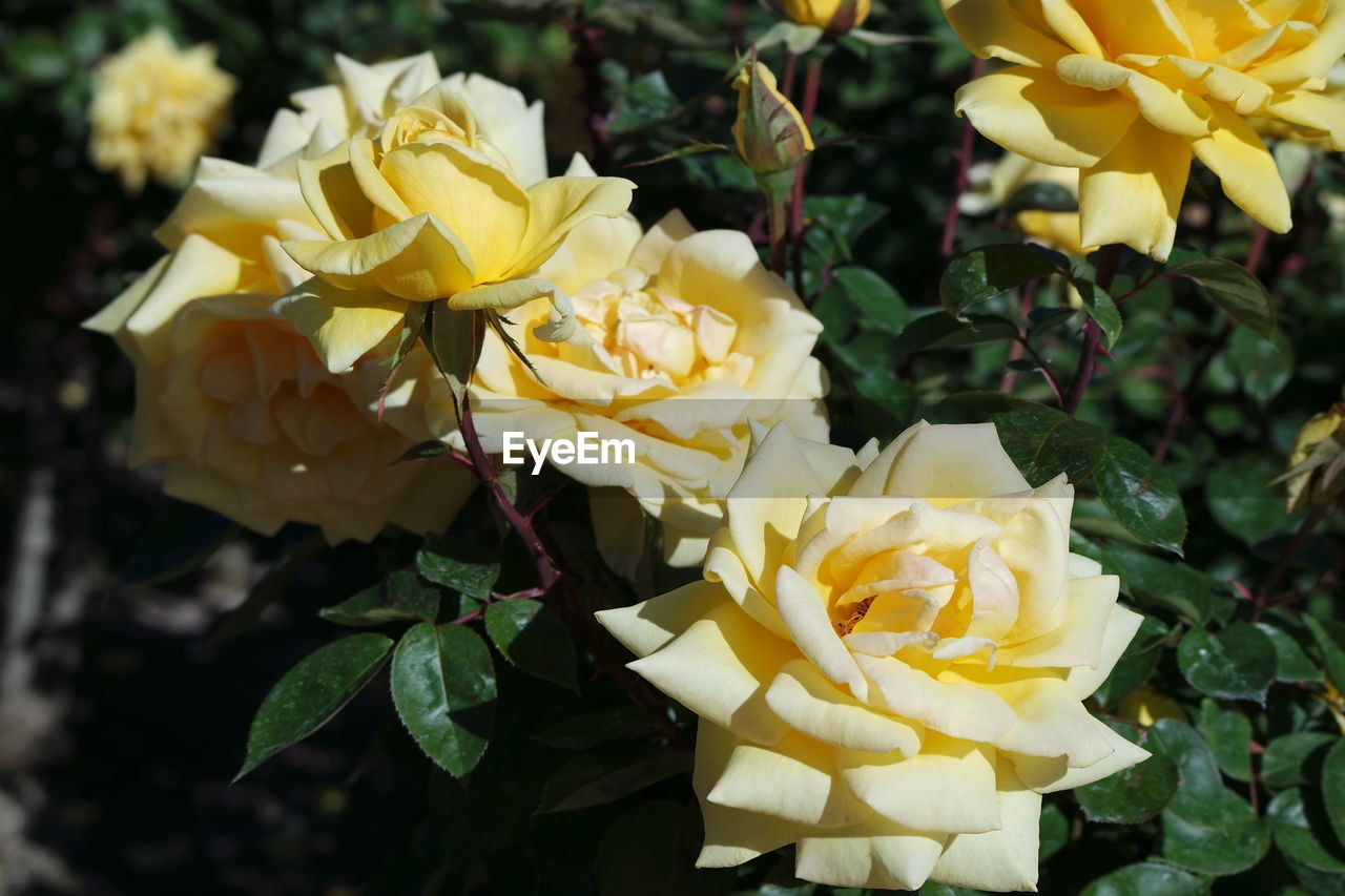 flower, petal, fragility, yellow, flower head, freshness, beauty in nature, nature, plant, close-up, no people, rose - flower, growth, blooming, leaf, outdoors, day