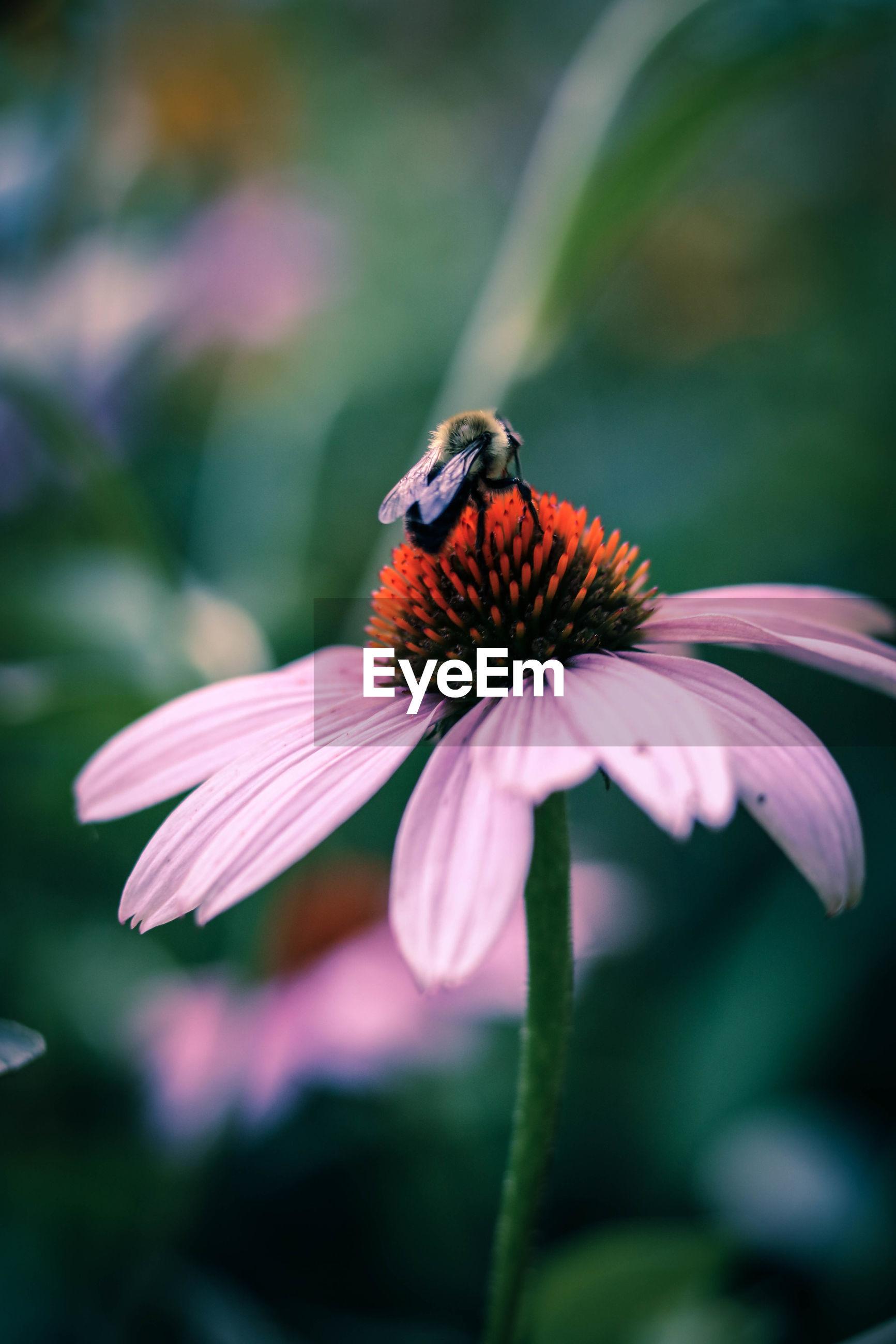 Bee pollinating on eastern purple coneflower