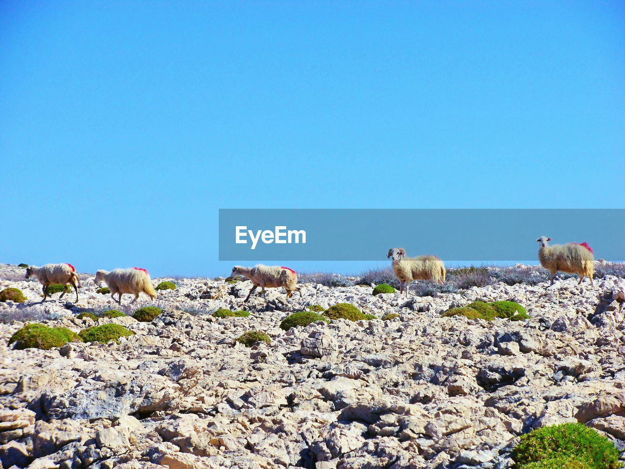 animal themes, animal, solid, copy space, clear sky, rock, sky, mammal, group of animals, blue, no people, nature, rock - object, domestic animals, vertebrate, domestic, pets, day, livestock, sheep, herbivorous, animal family