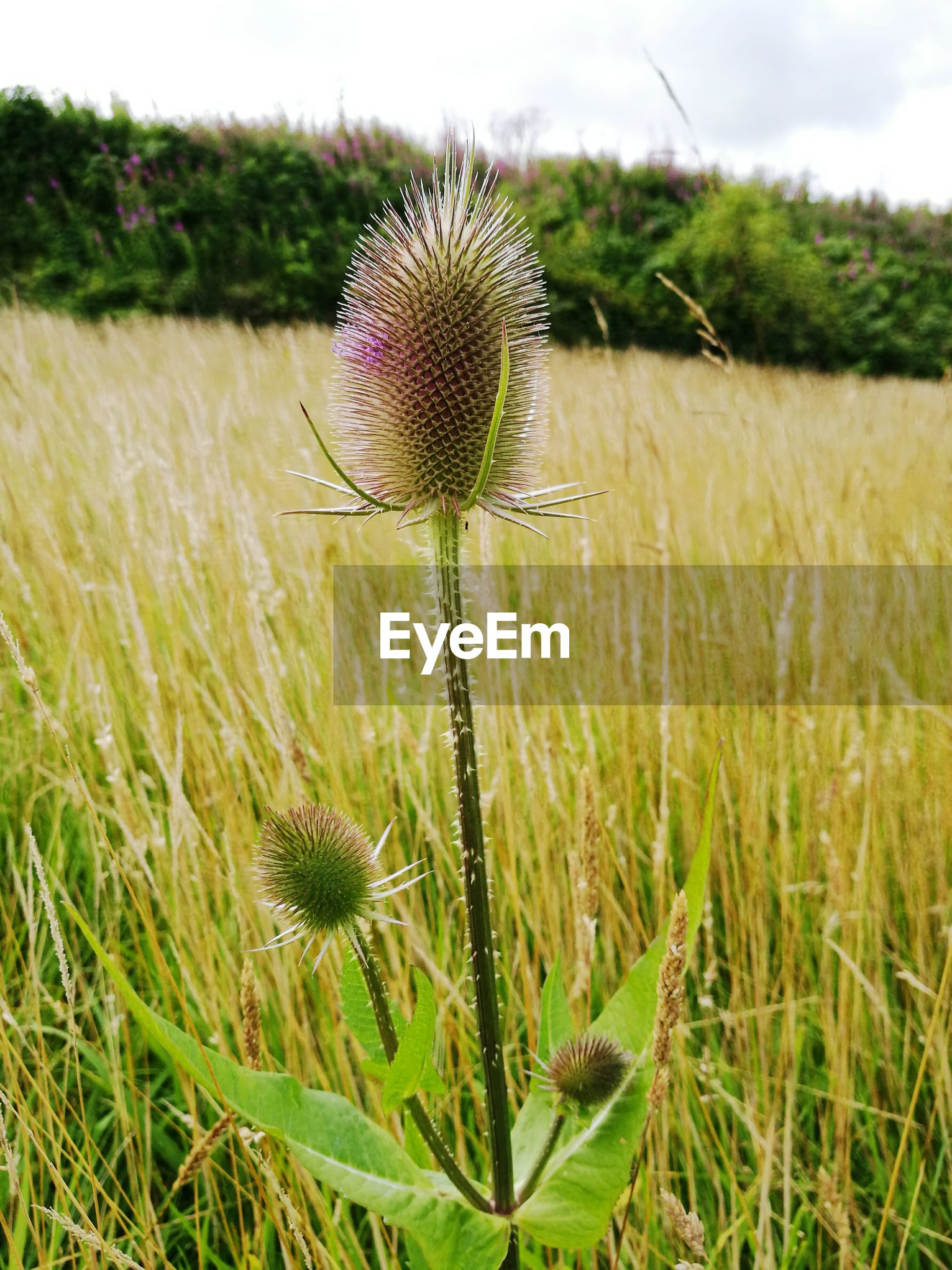CLOSE-UP OF THISTLE GROWING ON FIELD