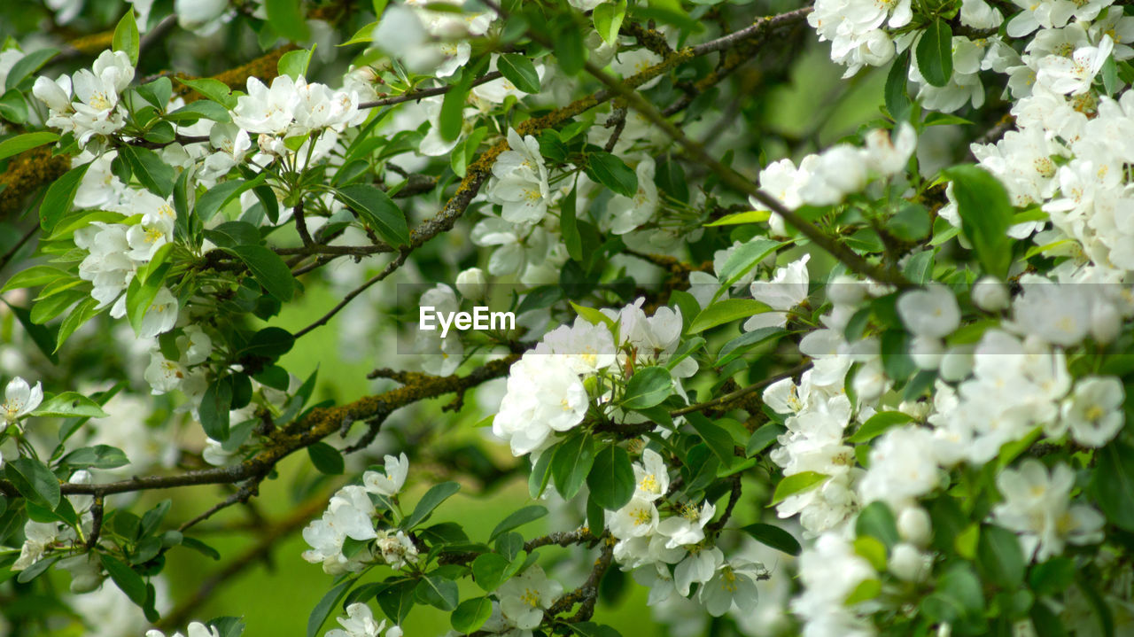 flower, white color, nature, growth, beauty in nature, fragility, freshness, blossom, apple blossom, blooming, petal, no people, plant, green color, outdoors, springtime, leaf, day, branch, flower head, close-up