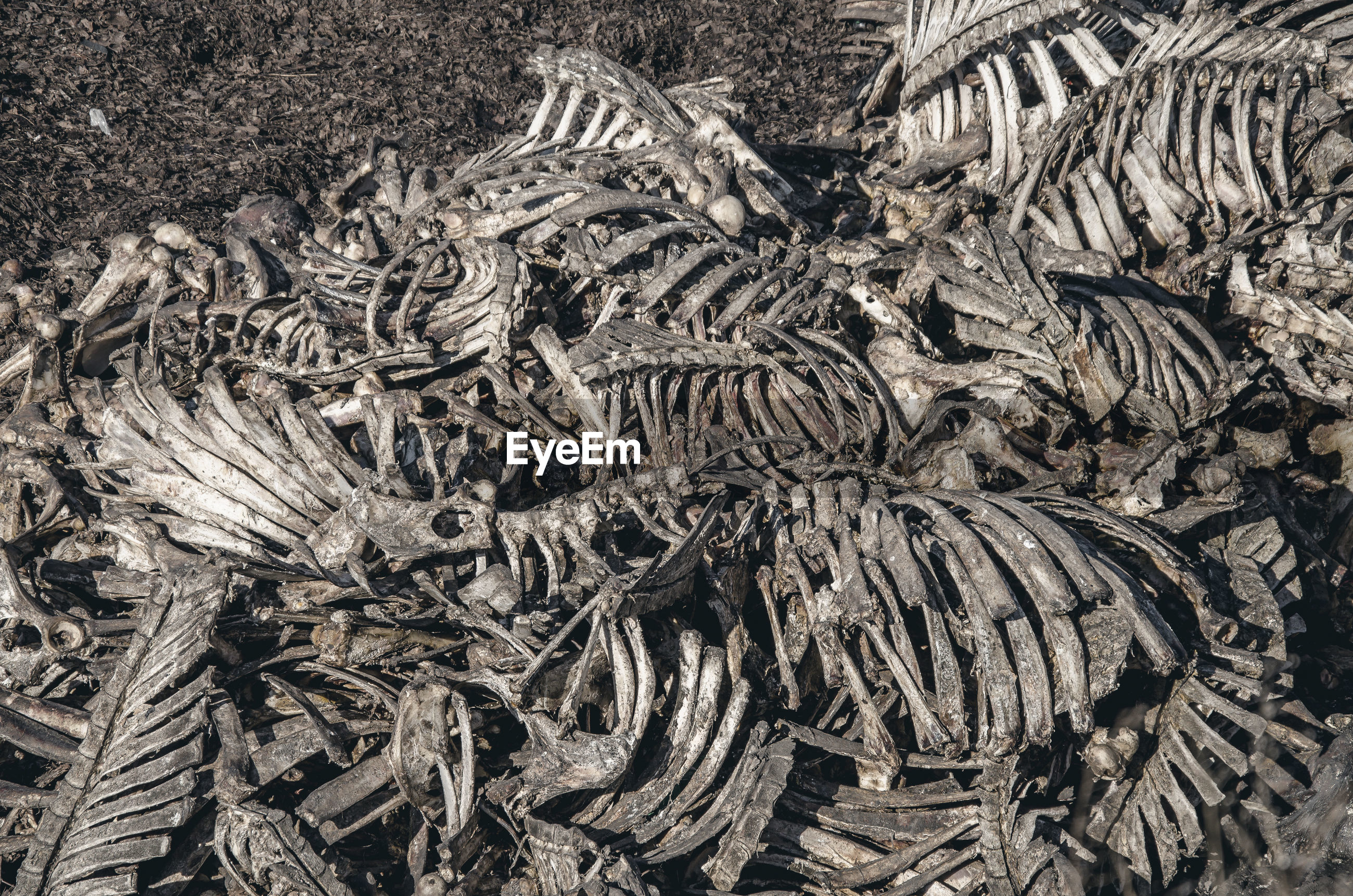 Bones of cows dumped in large pile at a landfill. disrespect, deadly business, eating meat