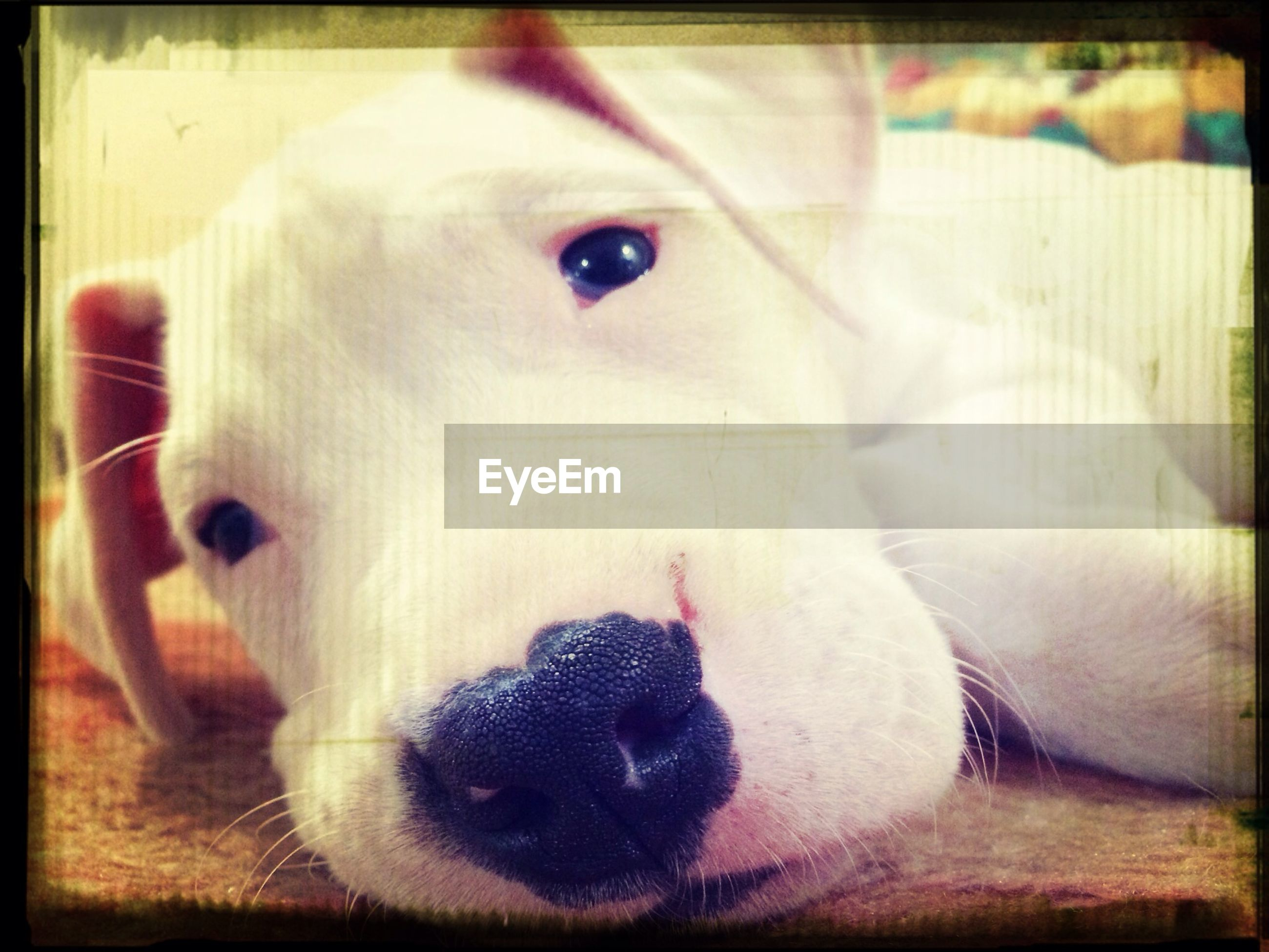 domestic animals, animal themes, transfer print, indoors, pets, one animal, dog, auto post production filter, close-up, mammal, animal head, animal body part, portrait, looking at camera, focus on foreground, no people, home interior, selective focus, white color, cute