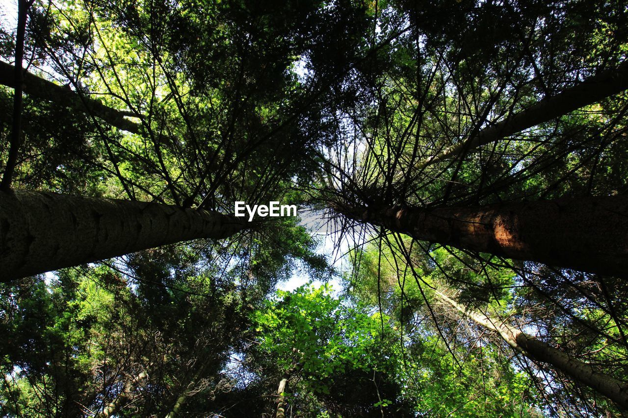 tree, plant, forest, low angle view, growth, land, nature, day, beauty in nature, no people, tranquility, tree canopy, woodland, tree trunk, trunk, green color, branch, outdoors, tranquil scene, scenics - nature, directly below, bamboo - plant