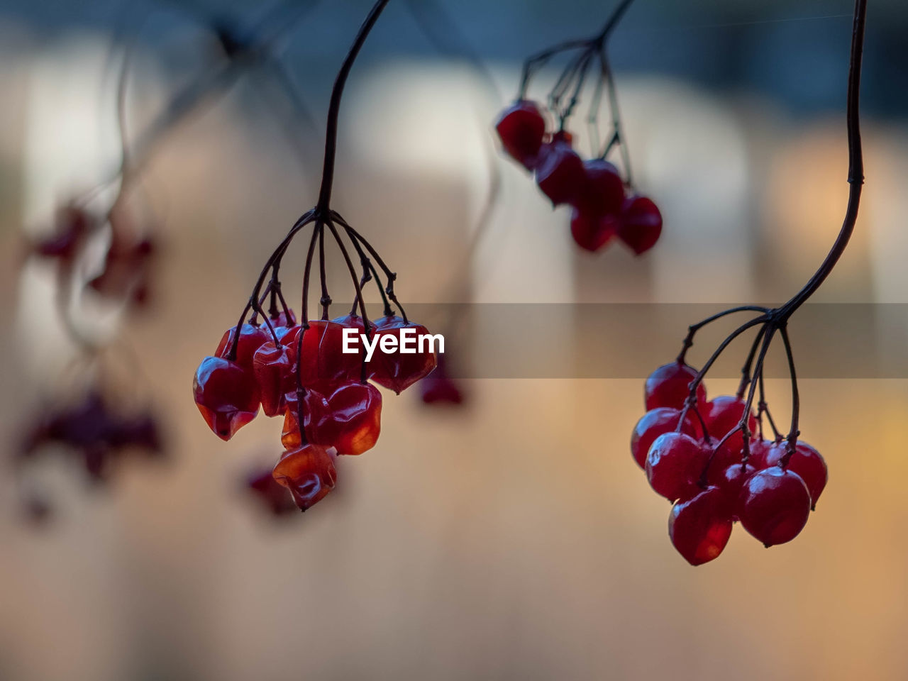 food, close-up, fruit, food and drink, red, focus on foreground, no people, healthy eating, freshness, berry fruit, plant, selective focus, nature, wellbeing, day, cherry, growth, beauty in nature, twig, hanging, ripe, red currant, rowanberry