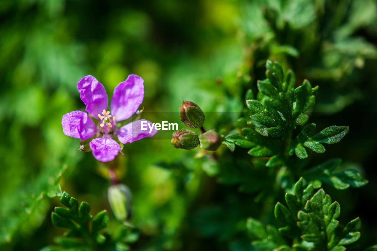 plant, flowering plant, flower, growth, beauty in nature, fragility, vulnerability, close-up, freshness, green color, leaf, plant part, nature, pink color, petal, no people, selective focus, inflorescence, day, flower head, outdoors, purple