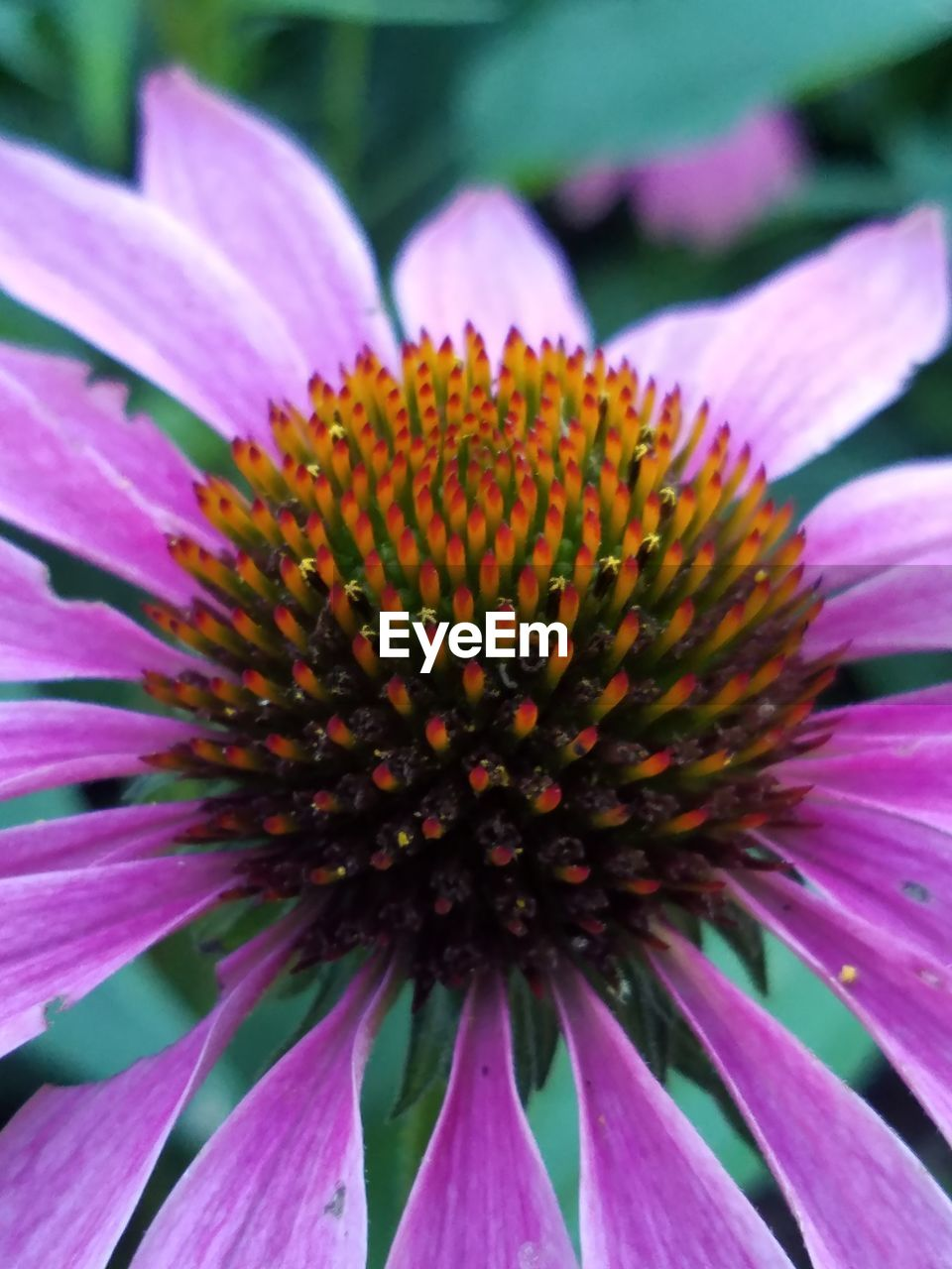 flower, fragility, petal, growth, beauty in nature, flower head, nature, pollen, freshness, eastern purple coneflower, blooming, coneflower, plant, purple, outdoors, day, no people, close-up