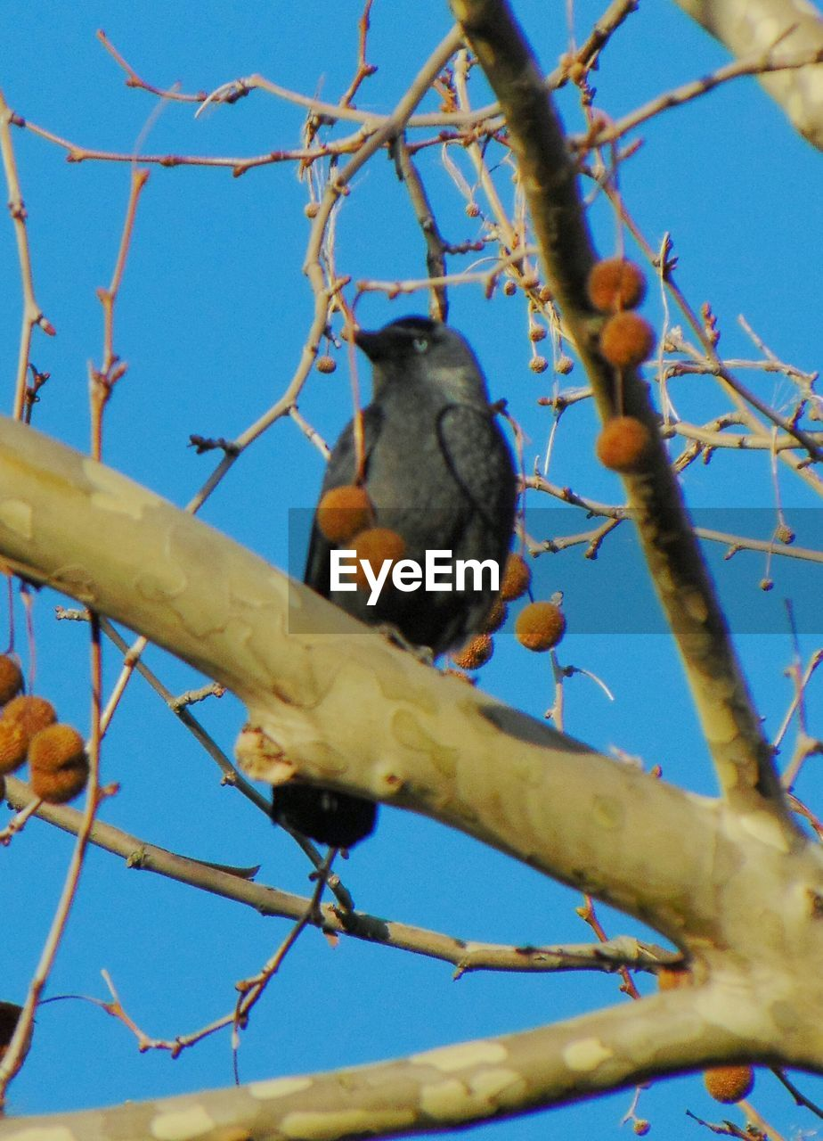 animals in the wild, low angle view, perching, branch, animal themes, one animal, day, no people, blue, animal wildlife, outdoors, bird, tree, nature, beauty in nature, food, close-up, sky