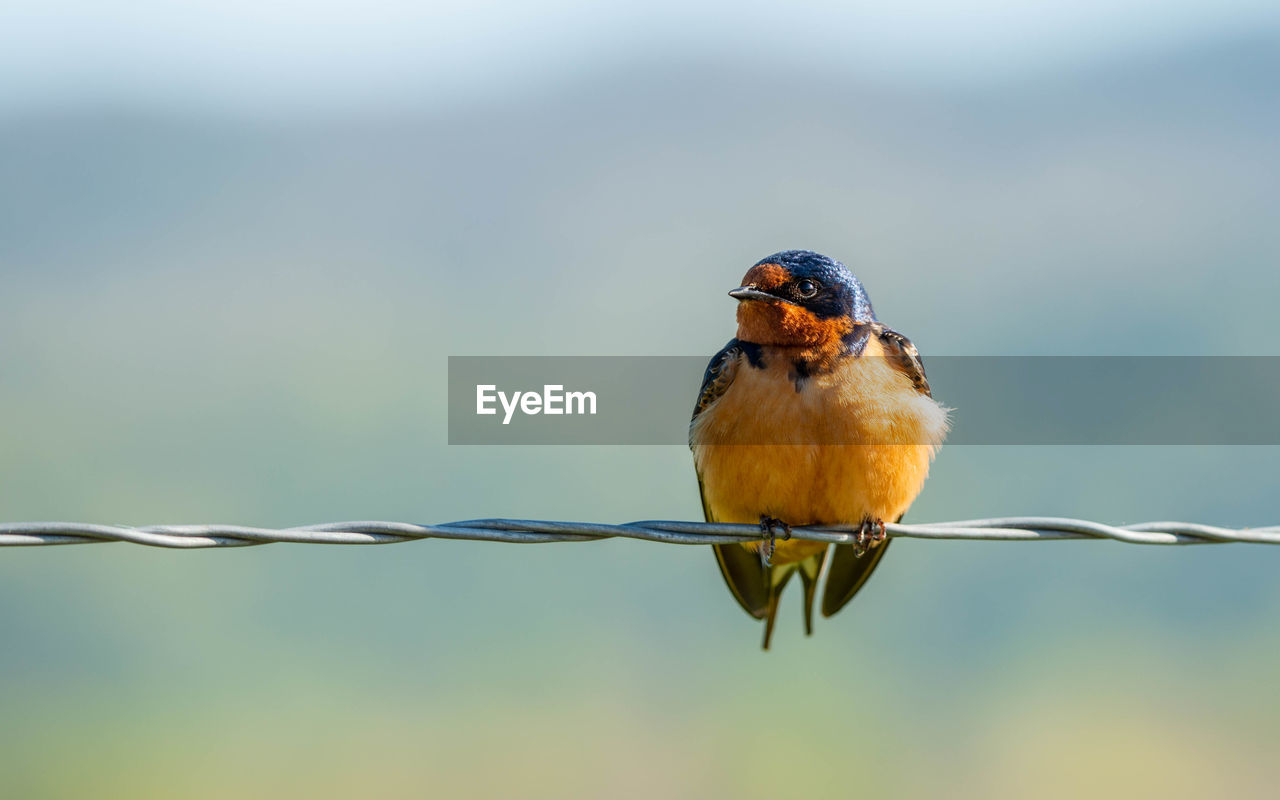 animal wildlife, animal themes, animal, one animal, animals in the wild, vertebrate, bird, perching, focus on foreground, day, close-up, no people, songbird, nature, twig, outdoors, copy space, full length, kingfisher, robin