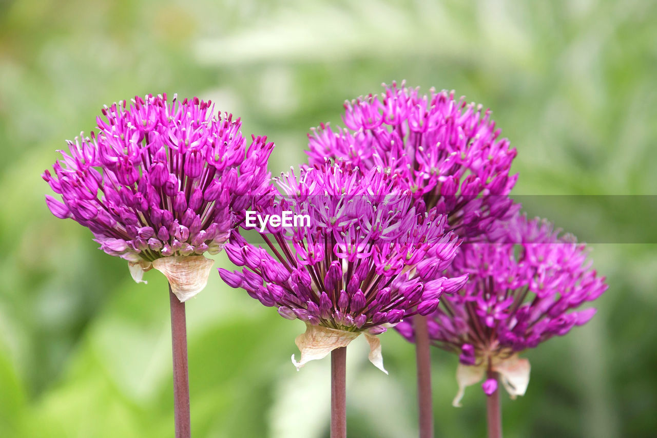 flower, flowering plant, vulnerability, fragility, beauty in nature, freshness, plant, growth, close-up, purple, petal, inflorescence, flower head, focus on foreground, nature, day, no people, pink color, plant stem, thistle, springtime, pollination