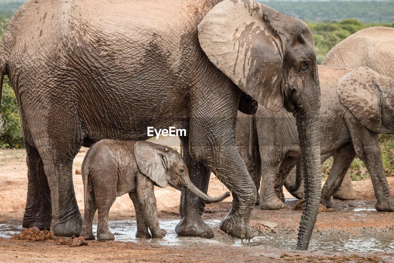 ELEPHANT IN A ANIMAL