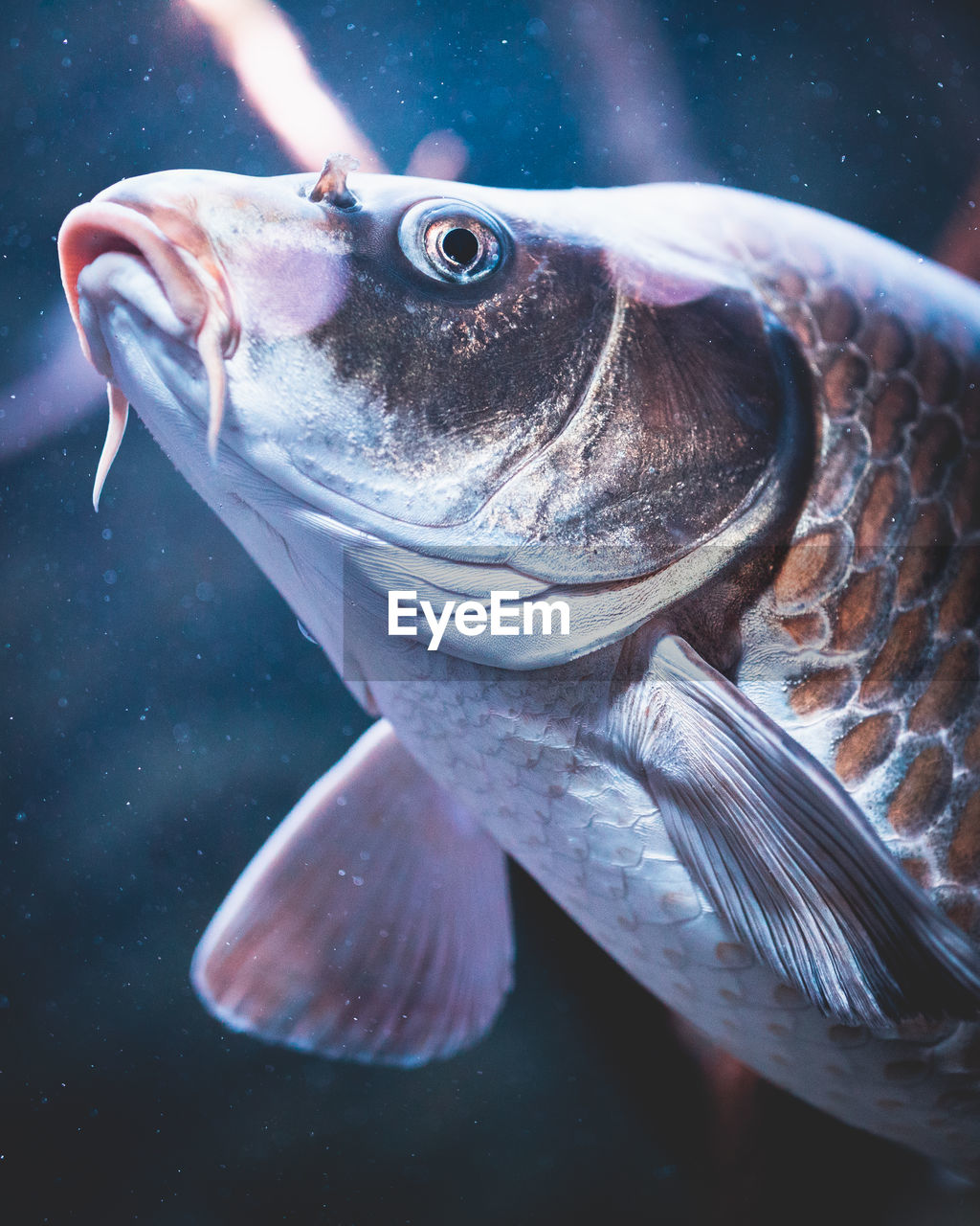 fish, animal, vertebrate, animal themes, water, animals in the wild, sea, animal wildlife, sea life, marine, close-up, seafood, one animal, no people, swimming, underwater, freshness, glass - material, transparent, outdoors, undersea, mouth open, animal eye