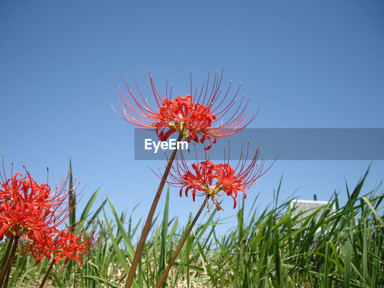 Close-up of red flowering plant against clear blue sky