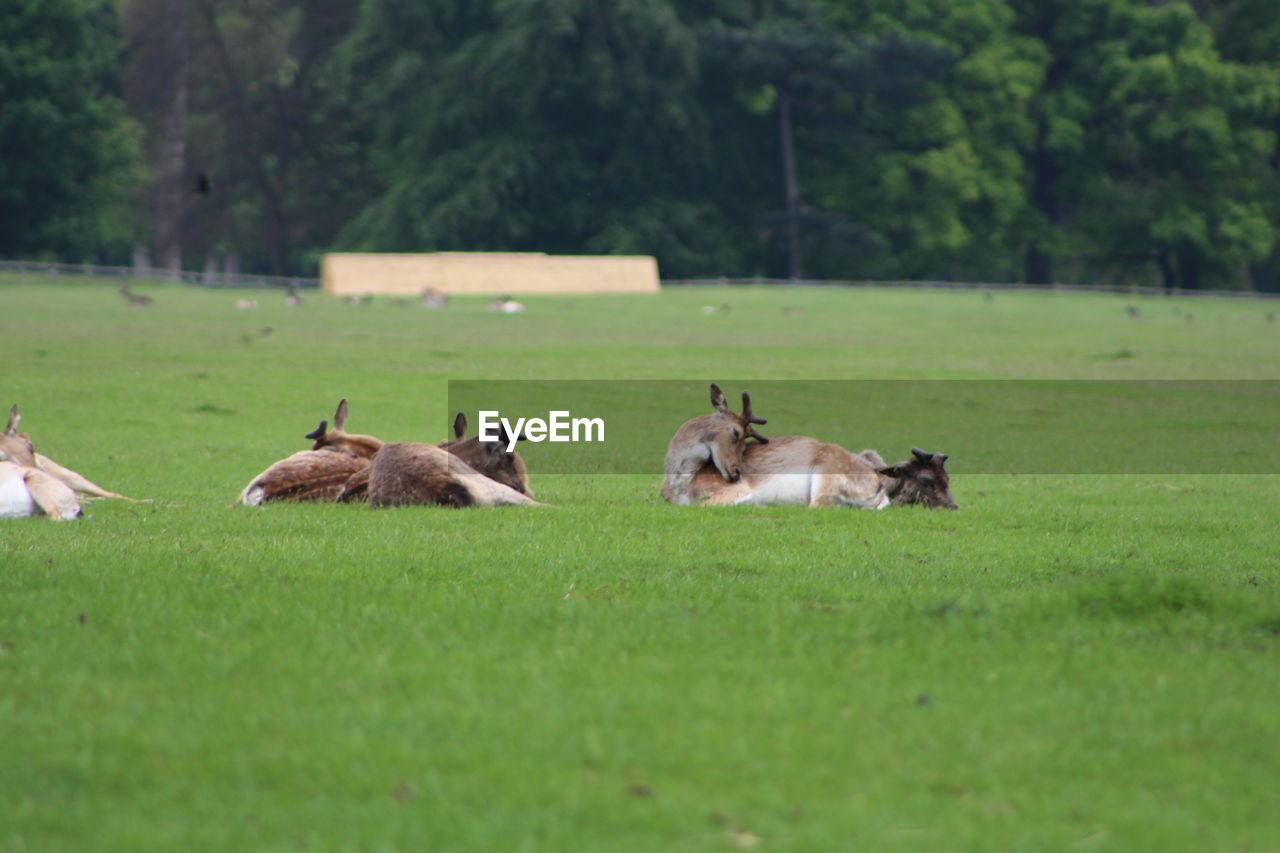 Deers on grassy field