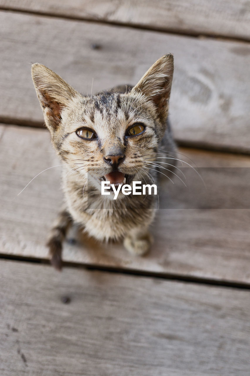 HIGH ANGLE PORTRAIT OF CAT BY WOODEN FLOOR
