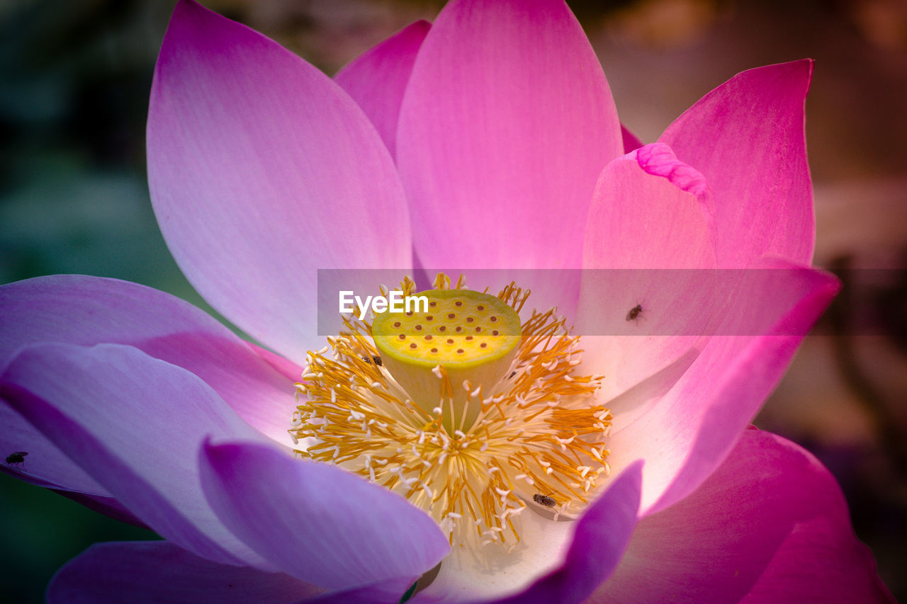 flowering plant, flower, petal, fragility, vulnerability, freshness, flower head, beauty in nature, inflorescence, plant, pollen, close-up, growth, pink color, focus on foreground, nature, day, yellow, no people, purple, lotus water lily