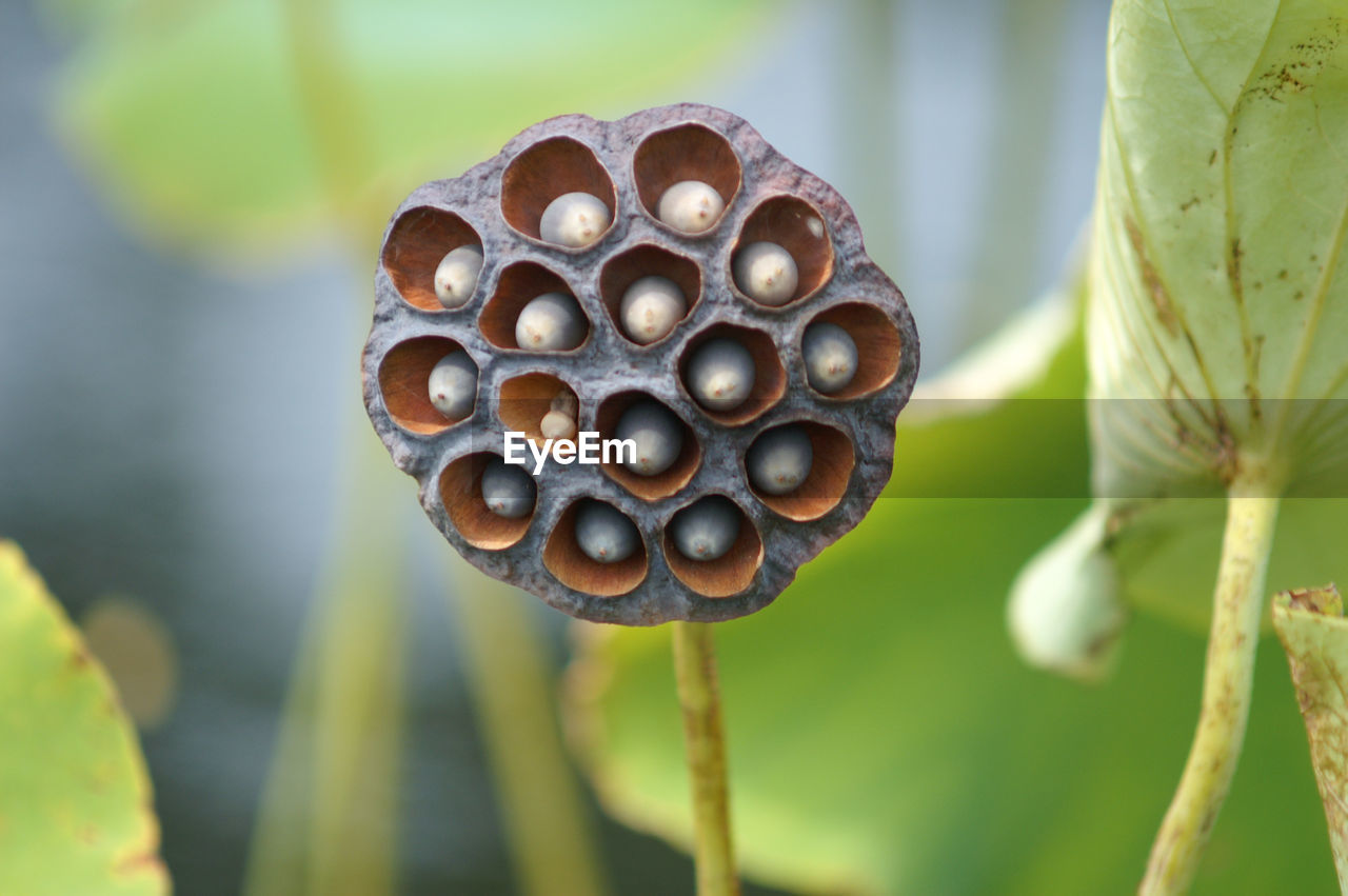 focus on foreground, close-up, plant, growth, food, beauty in nature, nature, no people, day, plant stem, freshness, food and drink, plant pod, selective focus, outdoors, brown, vulnerability, fragility, seed, pattern