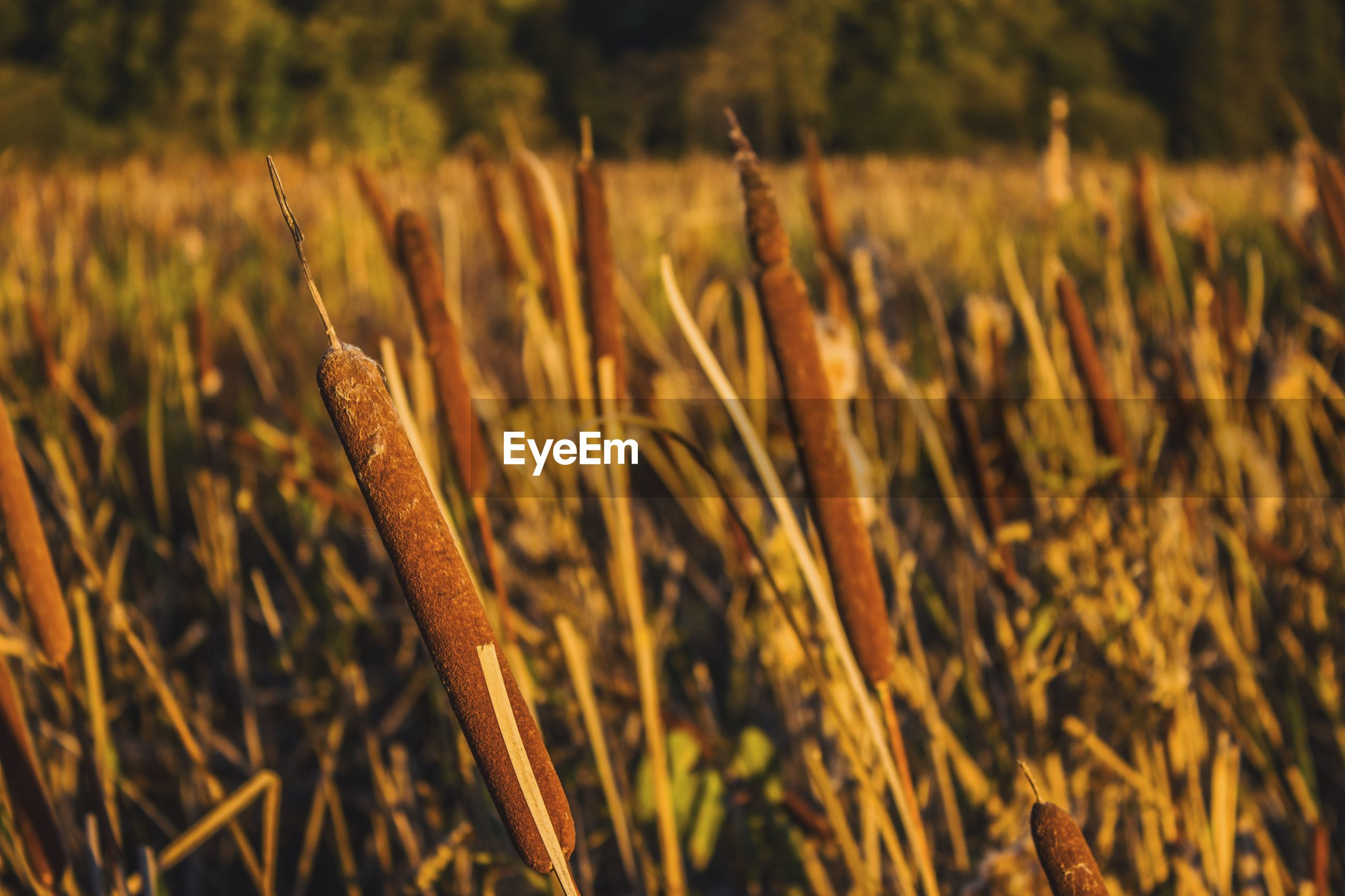 Close-up of cattails growing on field