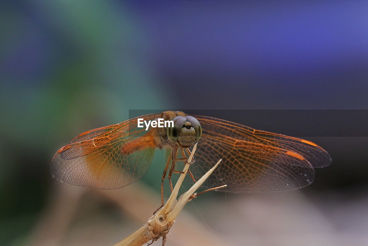 animal wildlife, one animal, animal themes, animal, invertebrate, animals in the wild, close-up, insect, focus on foreground, animal wing, no people, nature, day, plant, beauty in nature, outdoors, dragonfly, selective focus, twig, zoology, animal eye