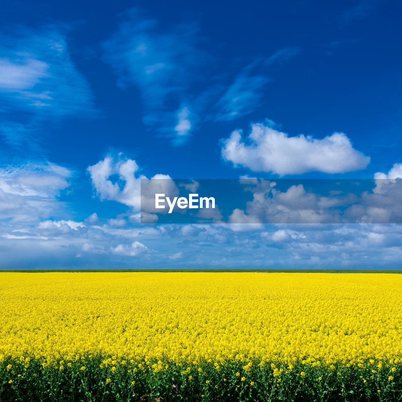 yellow, beauty in nature, sky, scenics - nature, field, cloud - sky, agriculture, tranquil scene, flower, blue, environment, land, tranquility, oilseed rape, landscape, growth, no people, plant, nature, rural scene, outdoors, flowerbed
