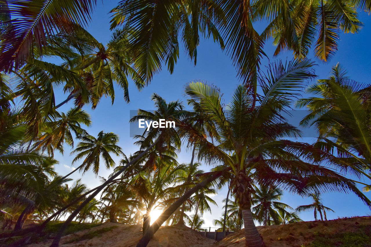 tree, plant, tranquility, tropical climate, sky, beauty in nature, palm tree, growth, tranquil scene, nature, no people, low angle view, land, scenics - nature, day, outdoors, environment, leaf, clear sky, sunlight, palm leaf, coconut palm tree, tropical tree