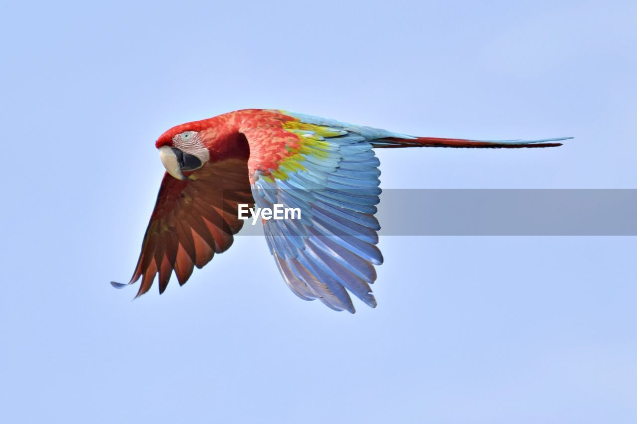 bird, animals in the wild, animal, flying, animal themes, animal wildlife, vertebrate, spread wings, sky, clear sky, blue, one animal, mid-air, no people, low angle view, motion, day, nature, parrot, copy space
