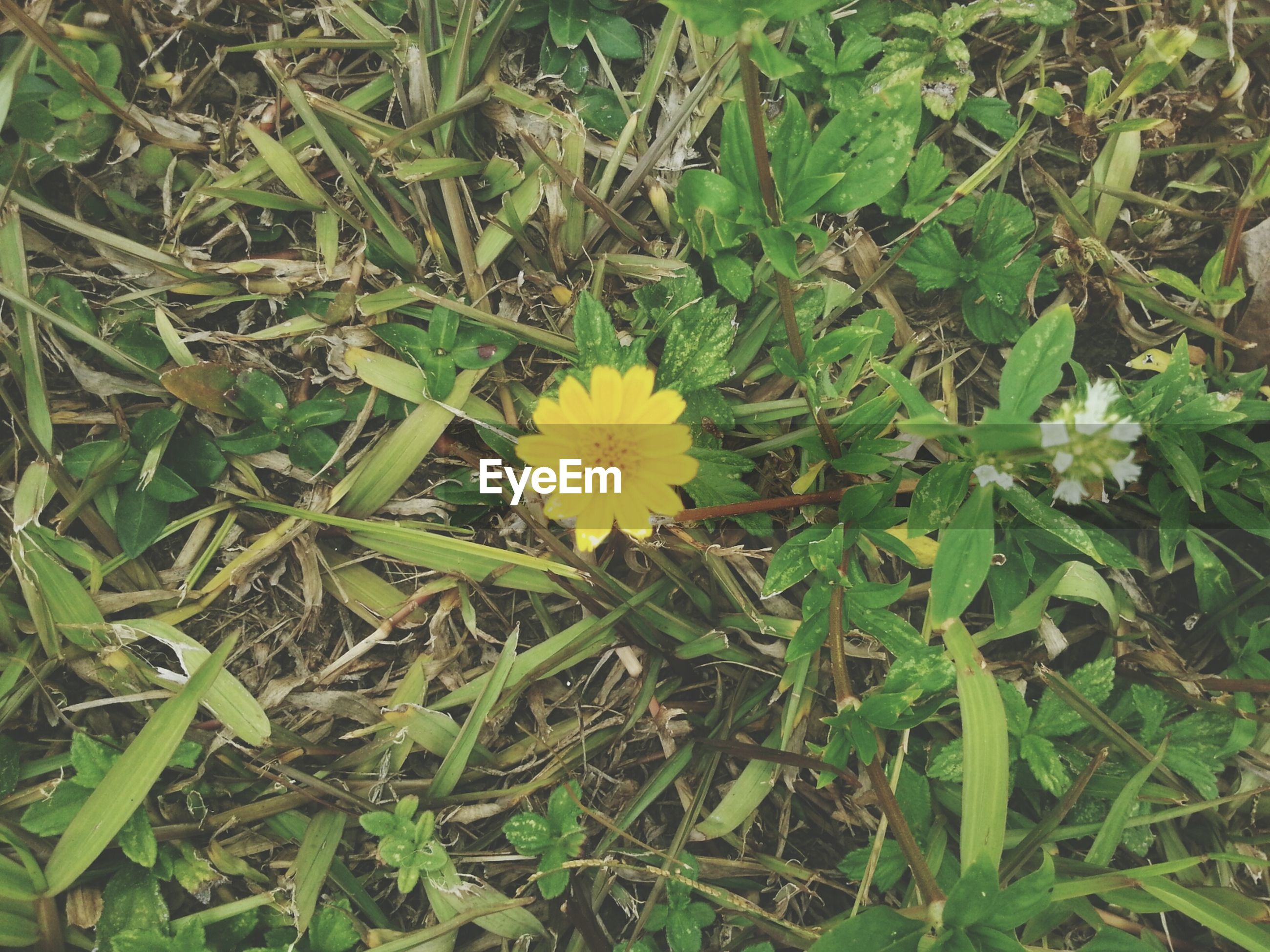 flower, growth, freshness, fragility, petal, flower head, beauty in nature, yellow, plant, high angle view, nature, blooming, field, green color, grass, leaf, day, in bloom, outdoors, no people