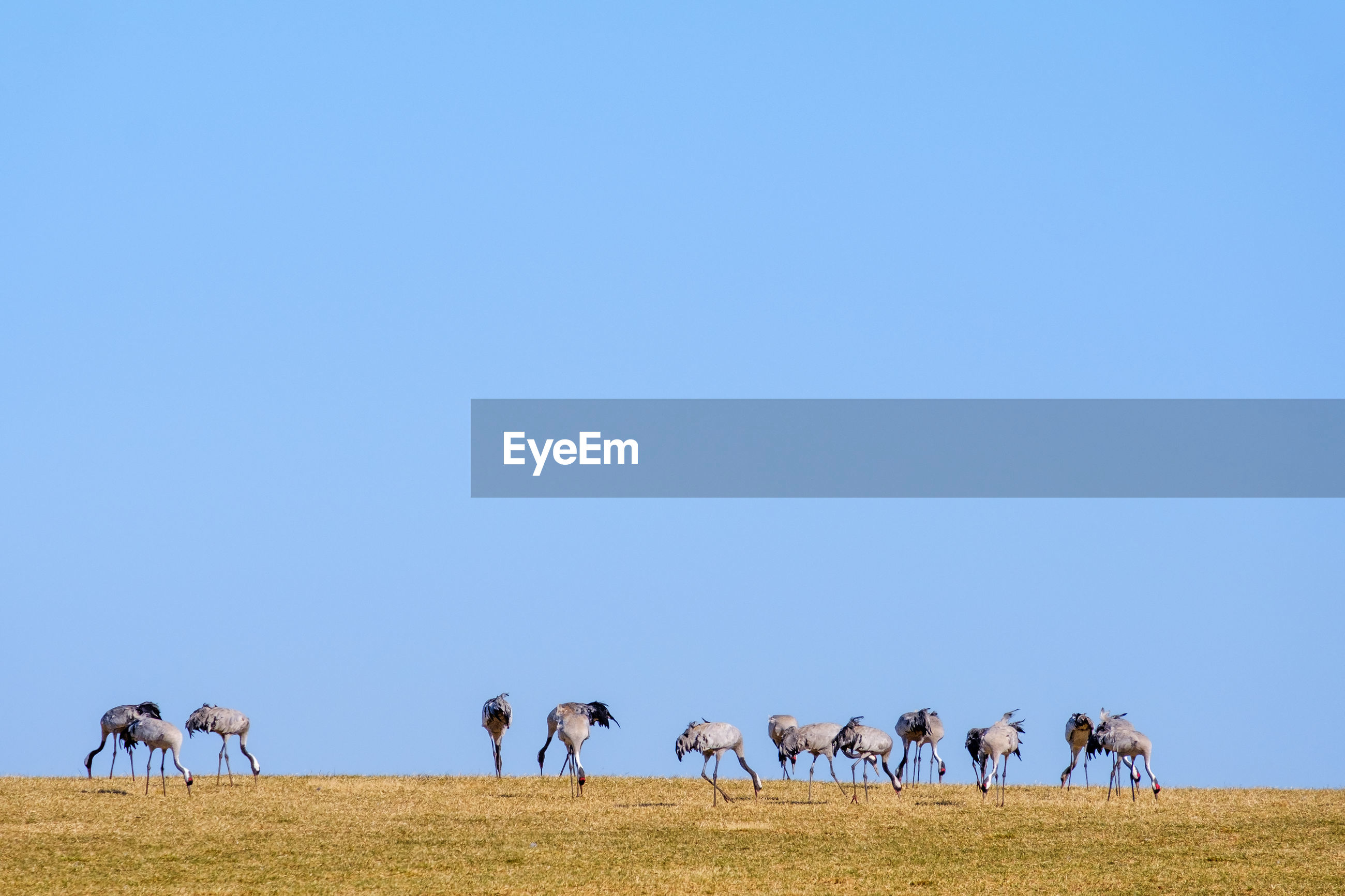 European cranes walking in a field and eating