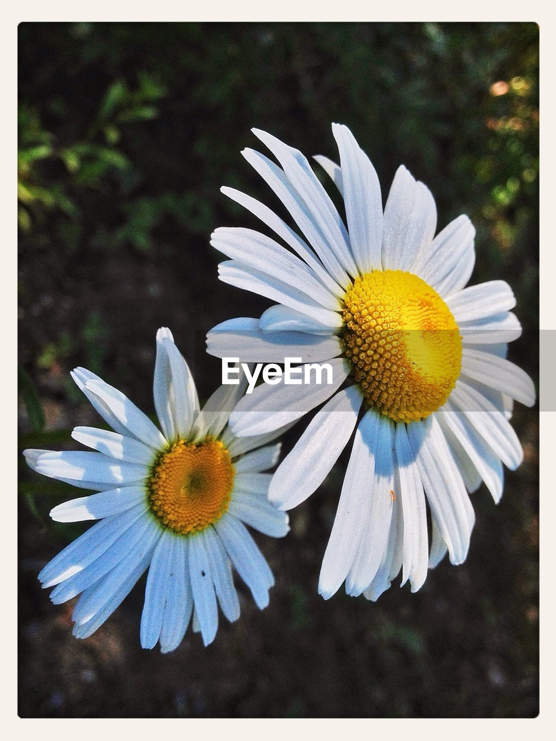 flower, petal, freshness, flower head, fragility, transfer print, daisy, pollen, white color, beauty in nature, auto post production filter, growth, blooming, nature, yellow, close-up, plant, high angle view, single flower, focus on foreground