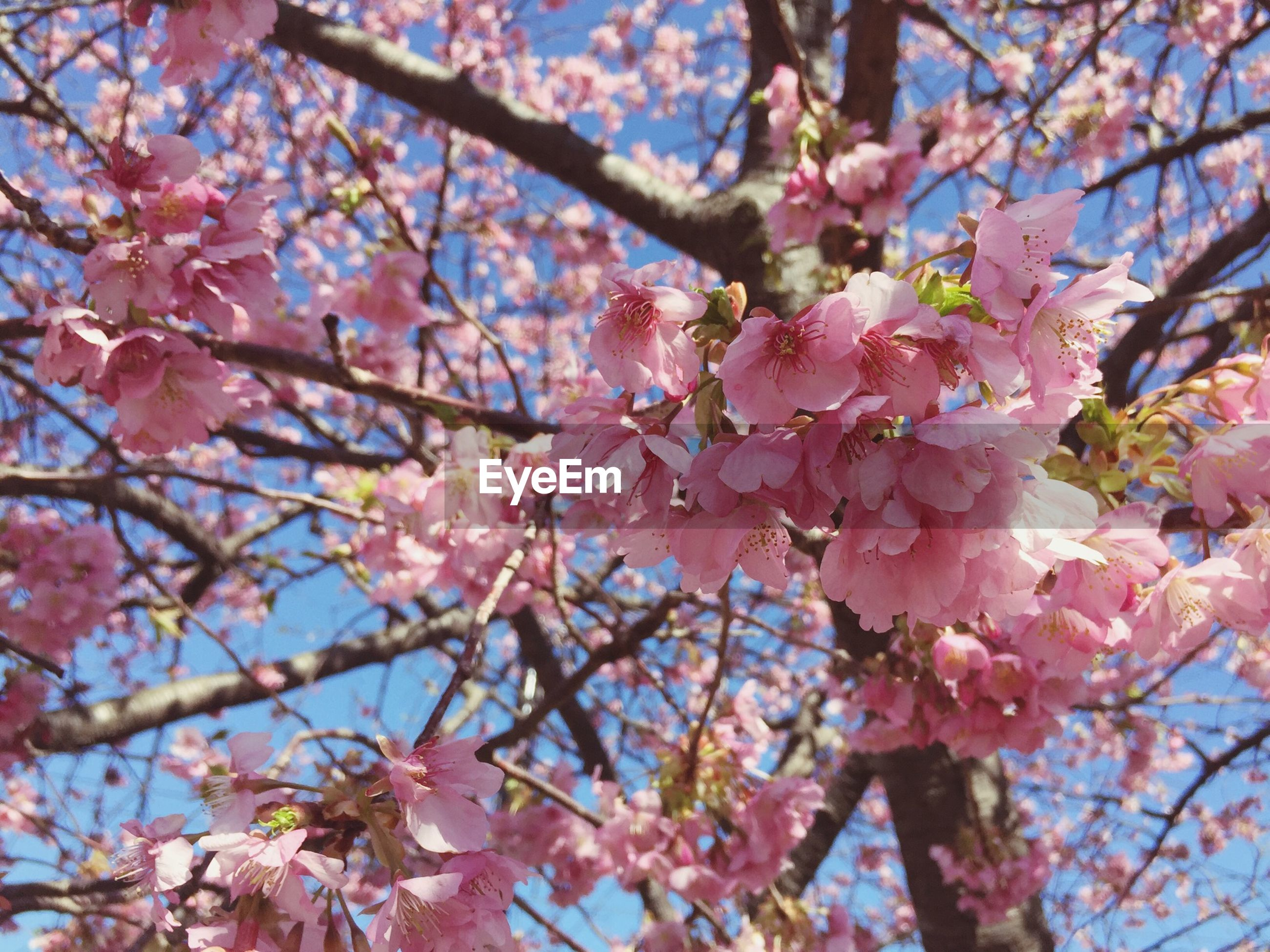 flower, branch, tree, cherry blossom, freshness, low angle view, cherry tree, growth, pink color, blossom, beauty in nature, fragility, nature, springtime, fruit tree, in bloom, pink, blooming, twig, orchard